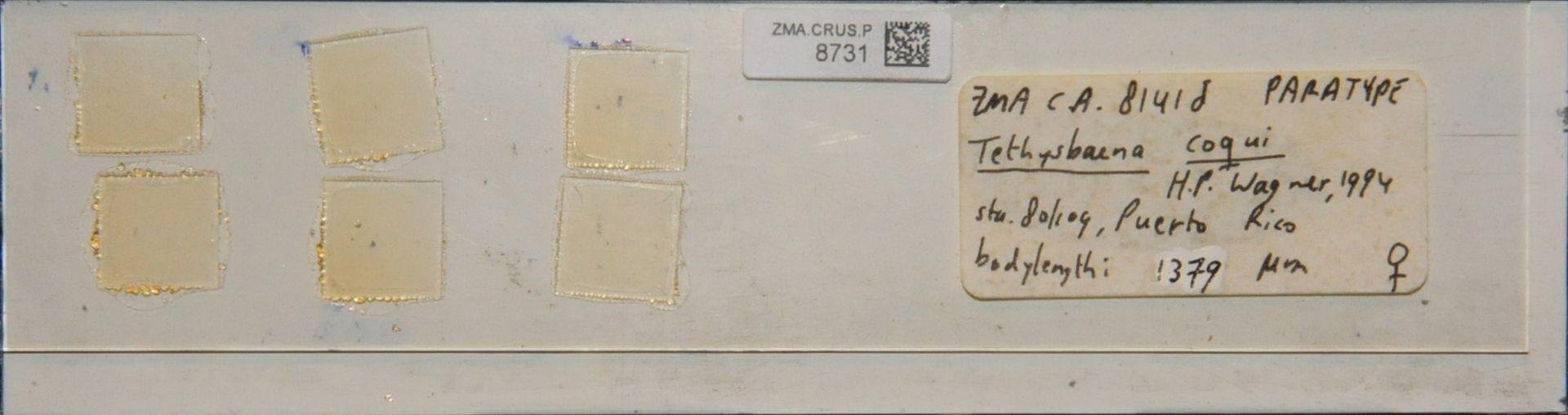 ZMA.CRUS.P.8731   Tethysbaena coqui H.P. Wagner, 1994