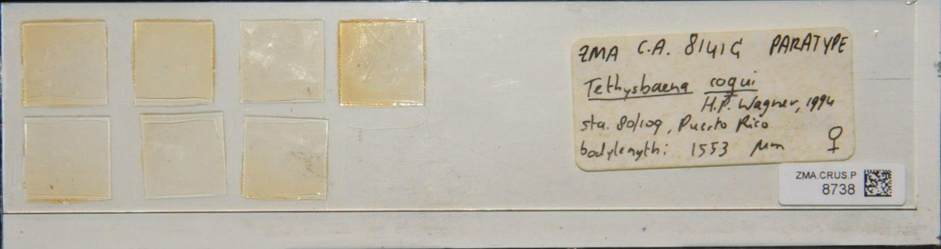 ZMA.CRUS.P.8738 | Tethysbaena coqui H.P. Wagner, 1994