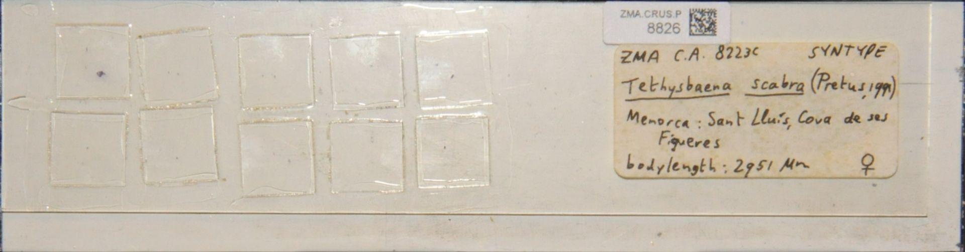 ZMA.CRUS.P.8826   Tethysbaena scabra (Pretus, 1991)