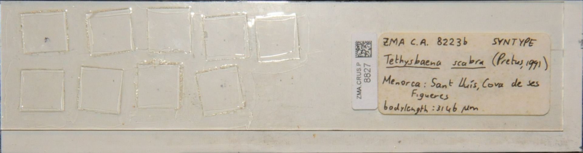 ZMA.CRUS.P.8827 | Tethysbaena scabra (Pretus, 1991)