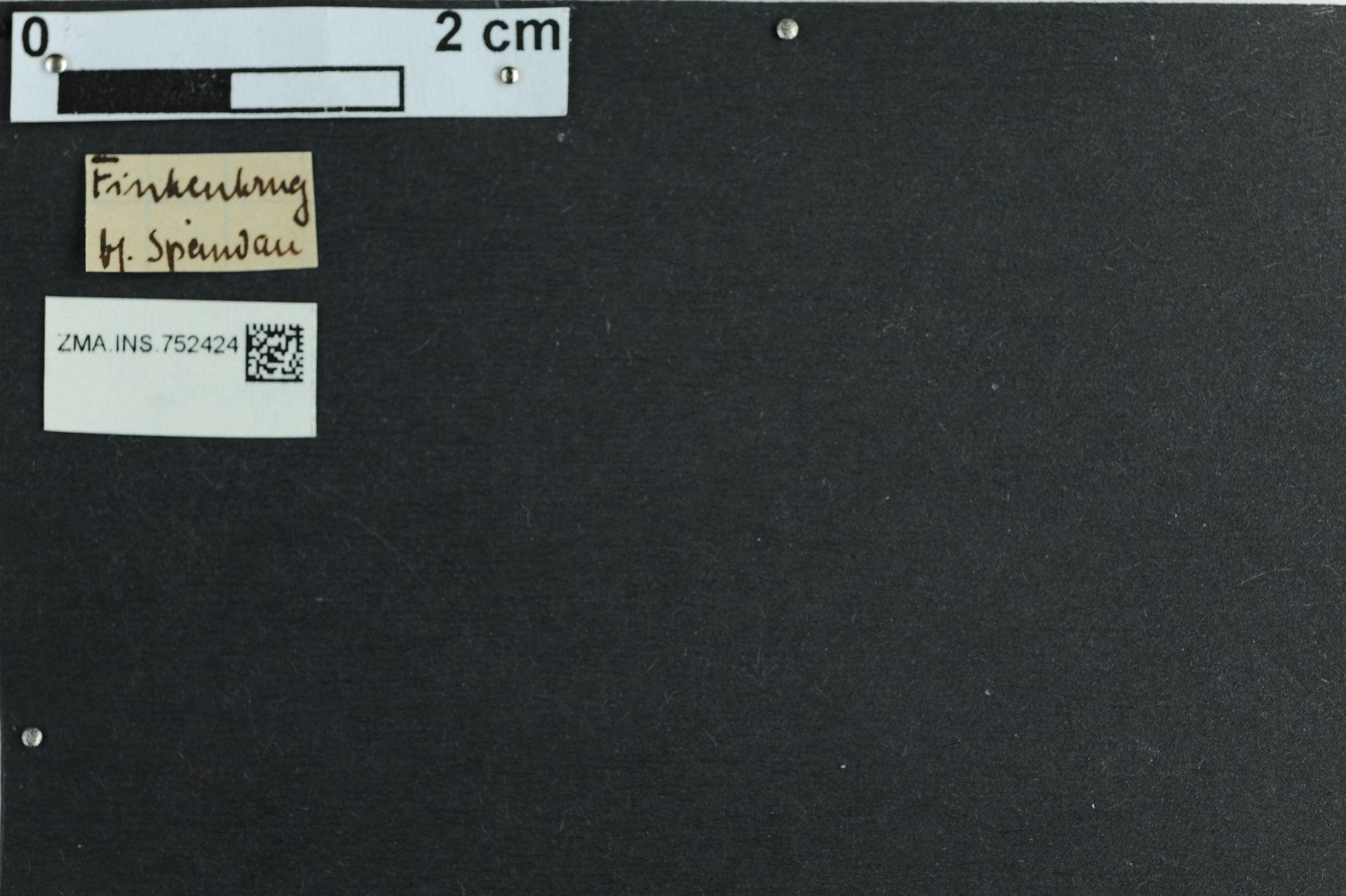 ZMA.INS.752424   Bombus (Pyrobombus) pratorum pratorum (Linnaeus, 1761)