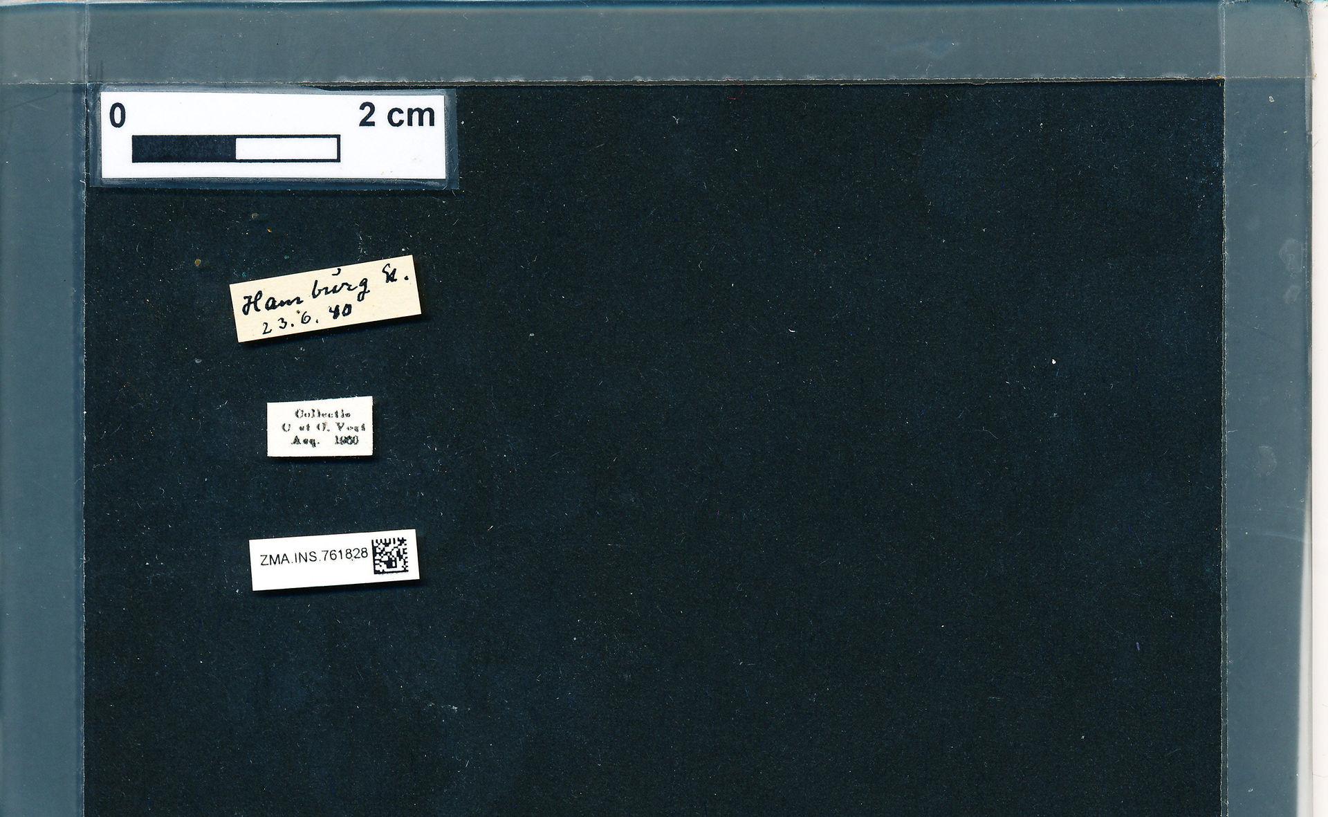 ZMA.INS.761828 | Bombus (Pyrobombus) pratorum pratorum Linnaeus, 1761