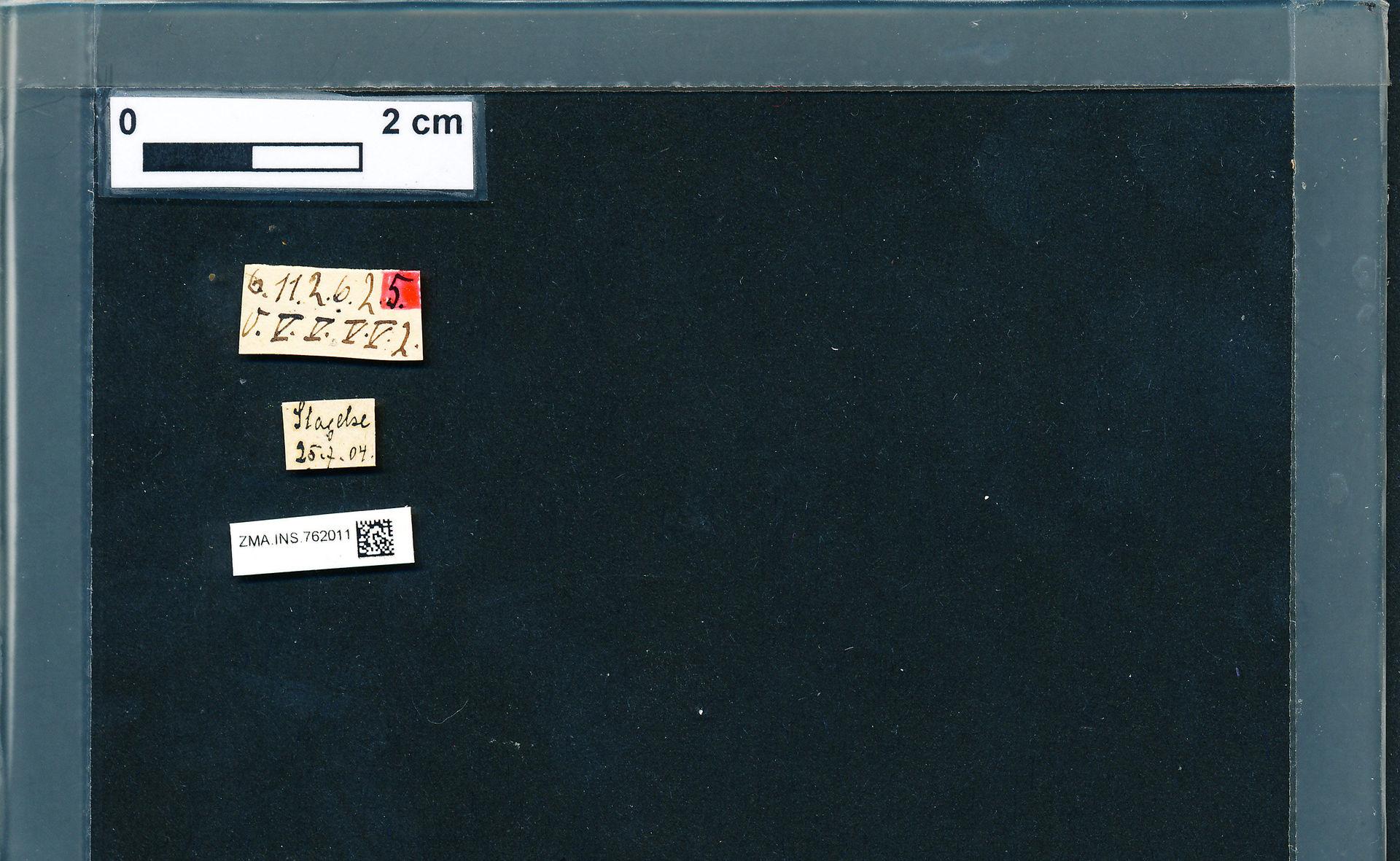 ZMA.INS.762011 | Bombus (Pyrobombus) pratorum pratorum Linnaeus, 1761