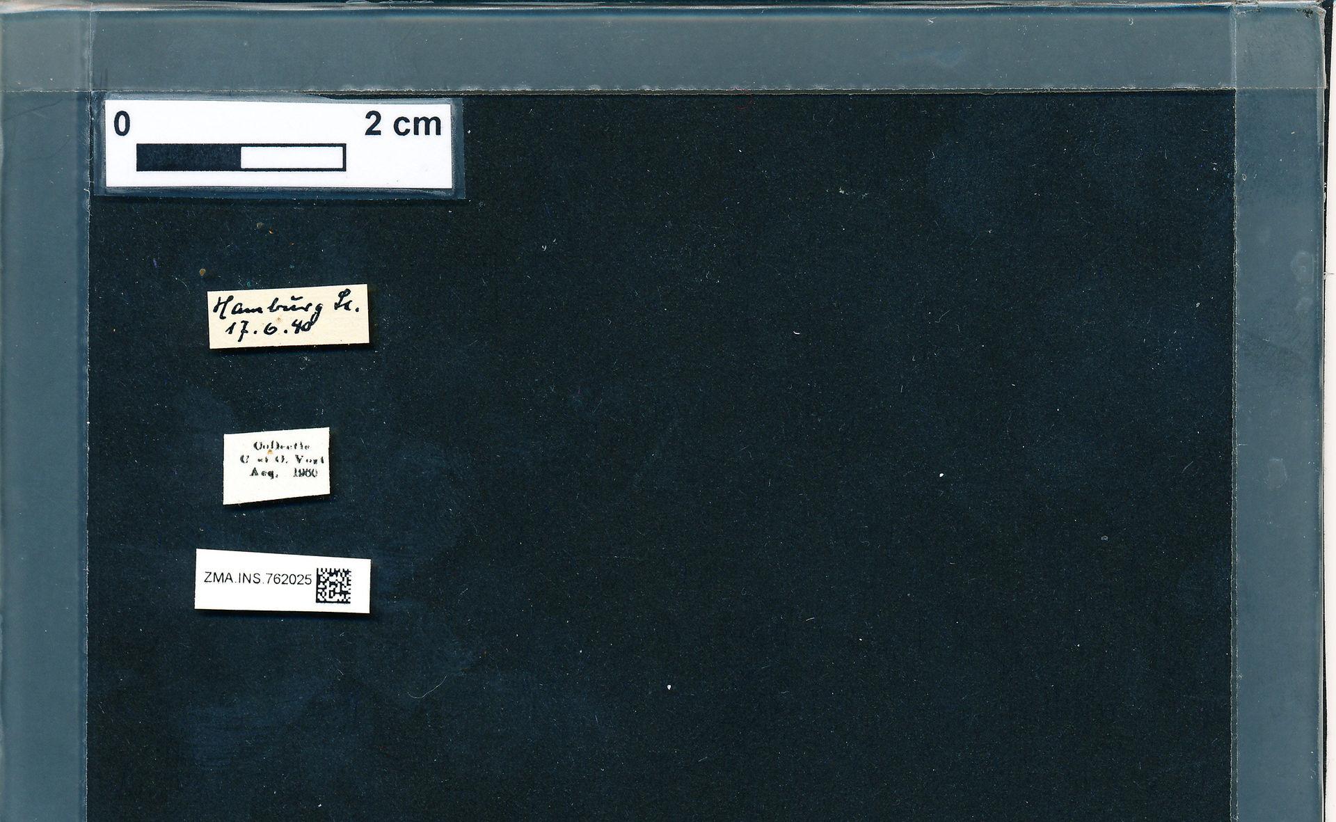 ZMA.INS.762025 | Bombus (Pyrobombus) pratorum pratorum Linnaeus, 1761