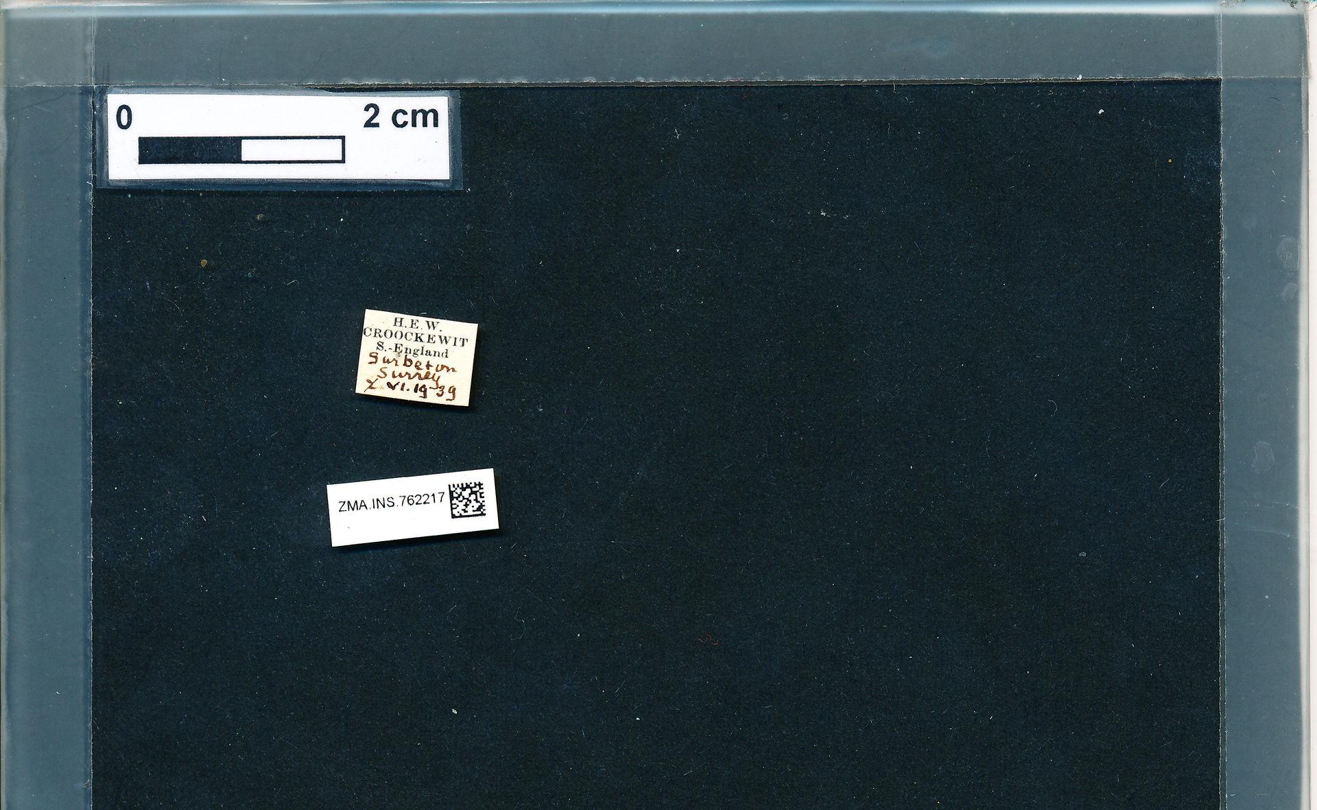 ZMA.INS.762217 | Bombus (Pyrobombus) pratorum pratorum Linnaeus, 1761