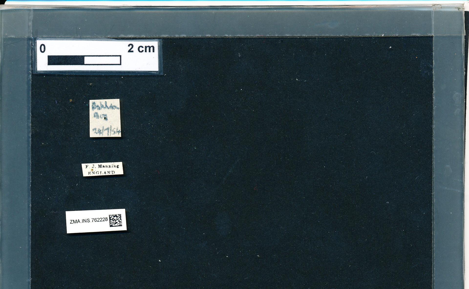 ZMA.INS.762228 | Bombus (Pyrobombus) pratorum pratorum Linnaeus, 1761