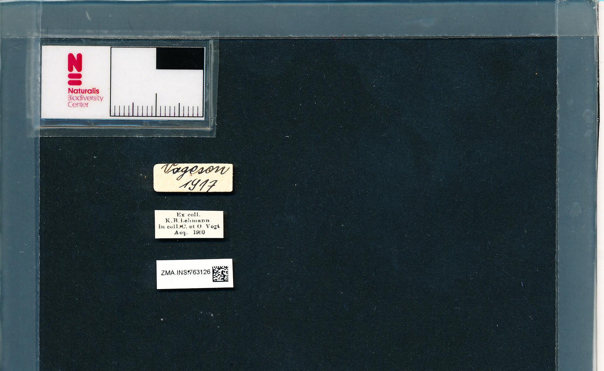 ZMA.INS.763126 | Bombus (Pyrobombus) pratorum pratorum Linnaeus, 1761