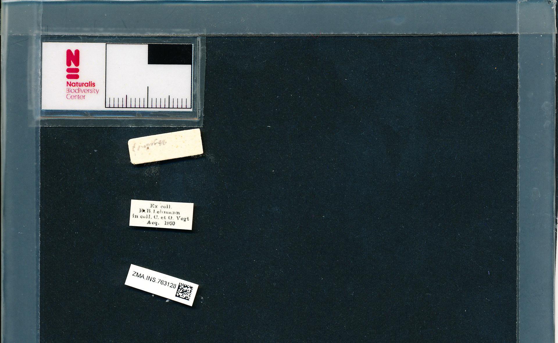 ZMA.INS.763128 | Bombus (Pyrobombus) pratorum pratorum (Linnaeus, 1761)