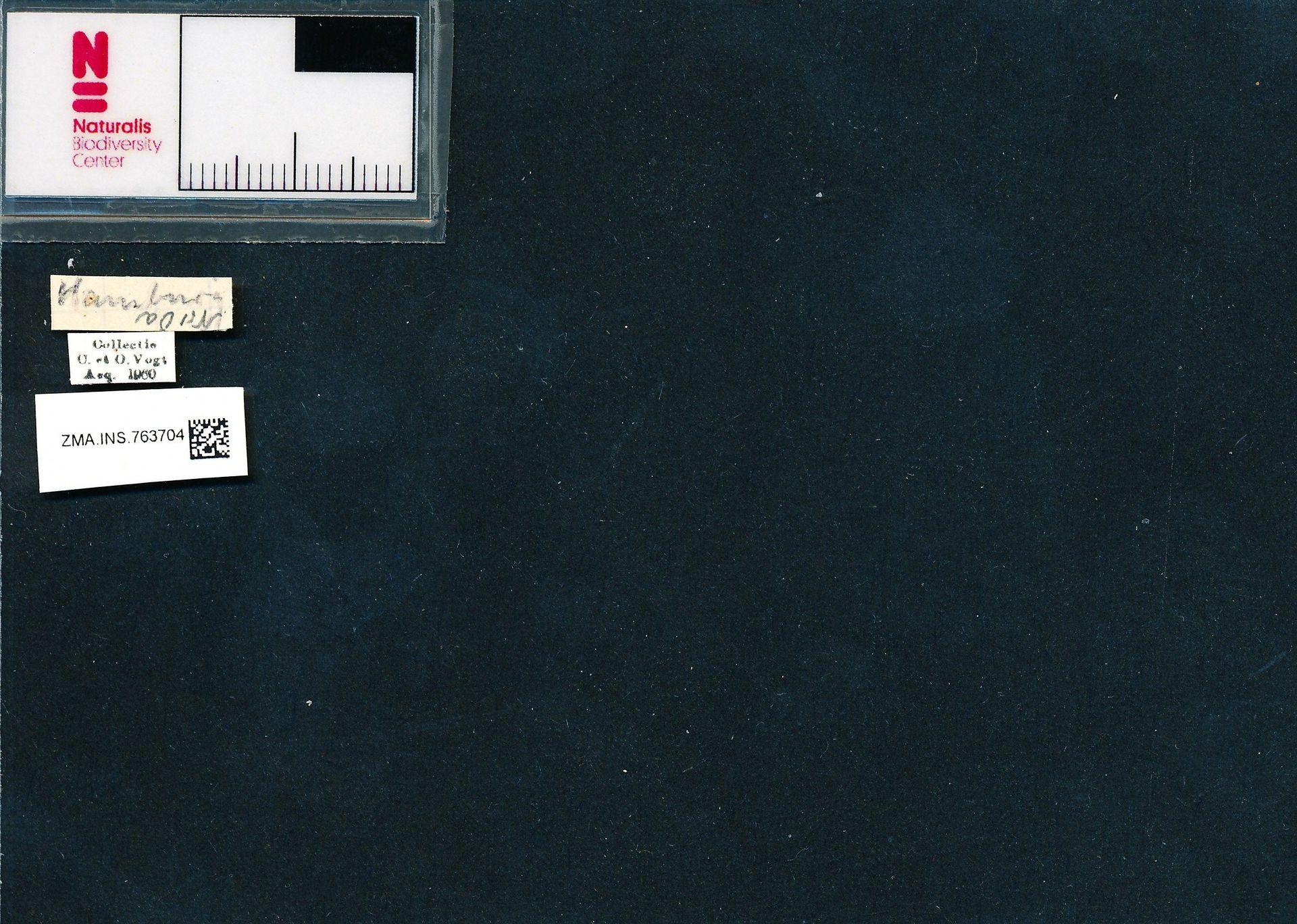 ZMA.INS.763704 | Bombus (Pyrobombus) pratorum pratorum (Linnaeus, 1761)