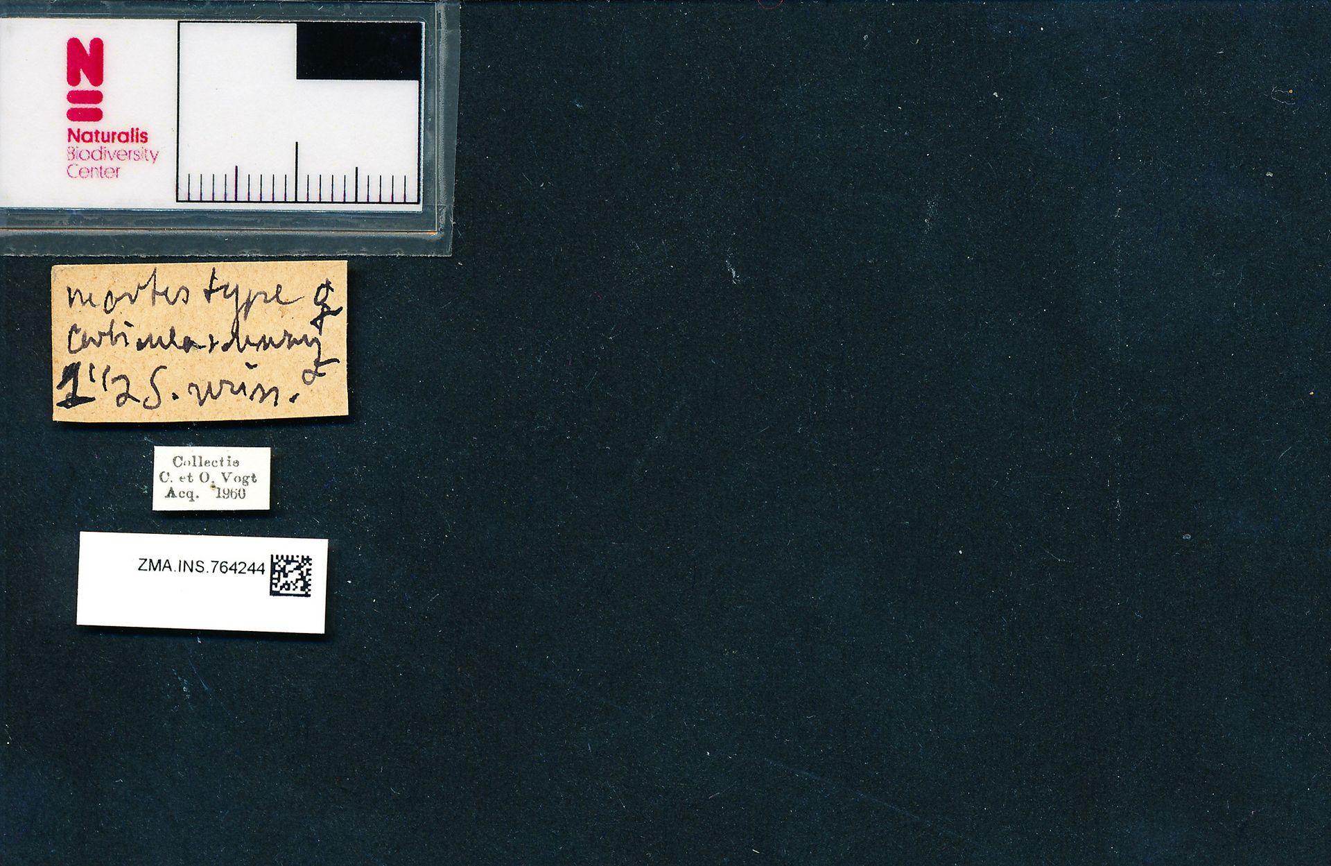 ZMA.INS.764244 | Bombus (Pyrobombus) jonellus martes Gerstaecker, 1869