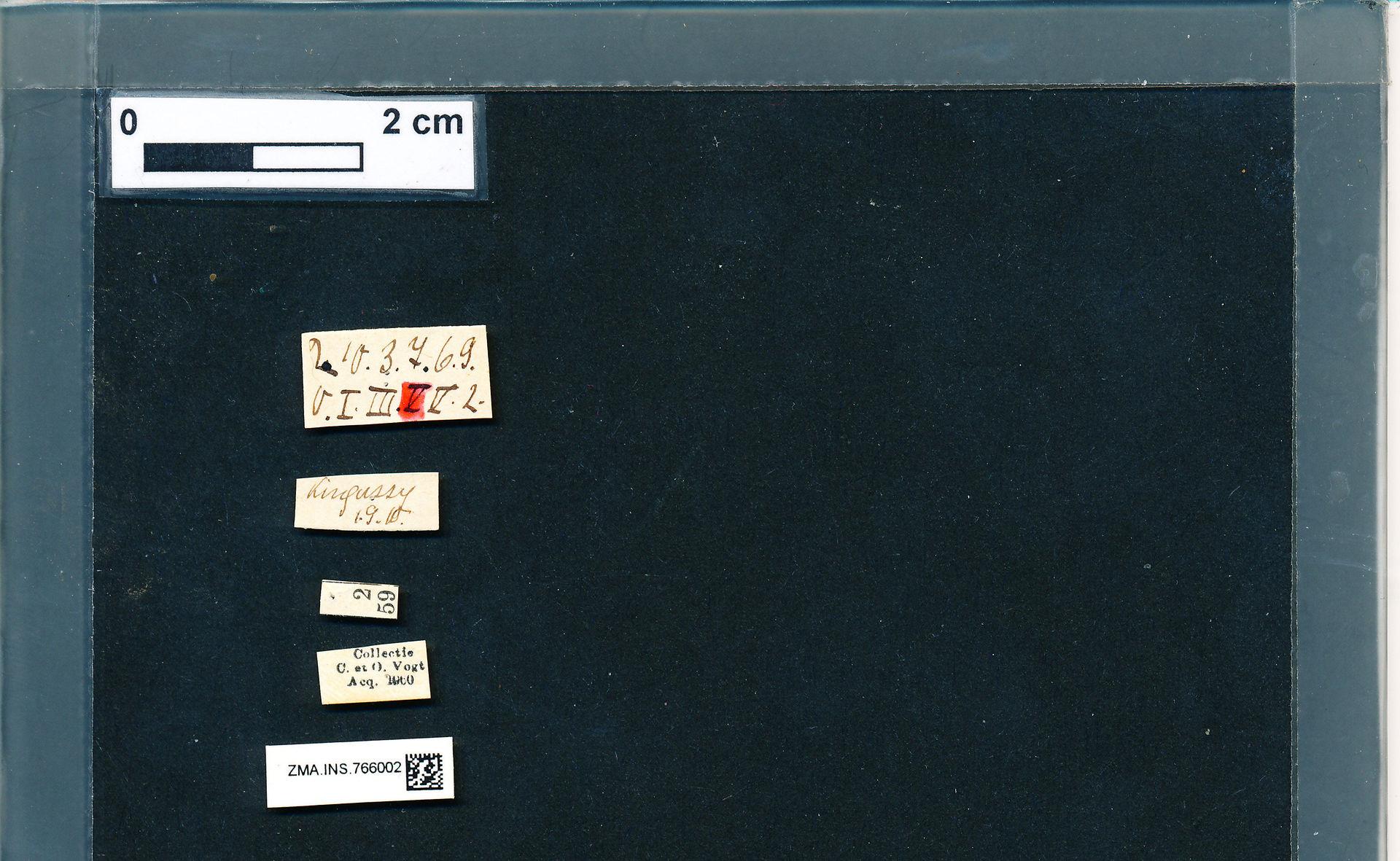 ZMA.INS.766002 | Bombus (Pyrobombus) pratorum pratorum (Linnaeus, 1761)