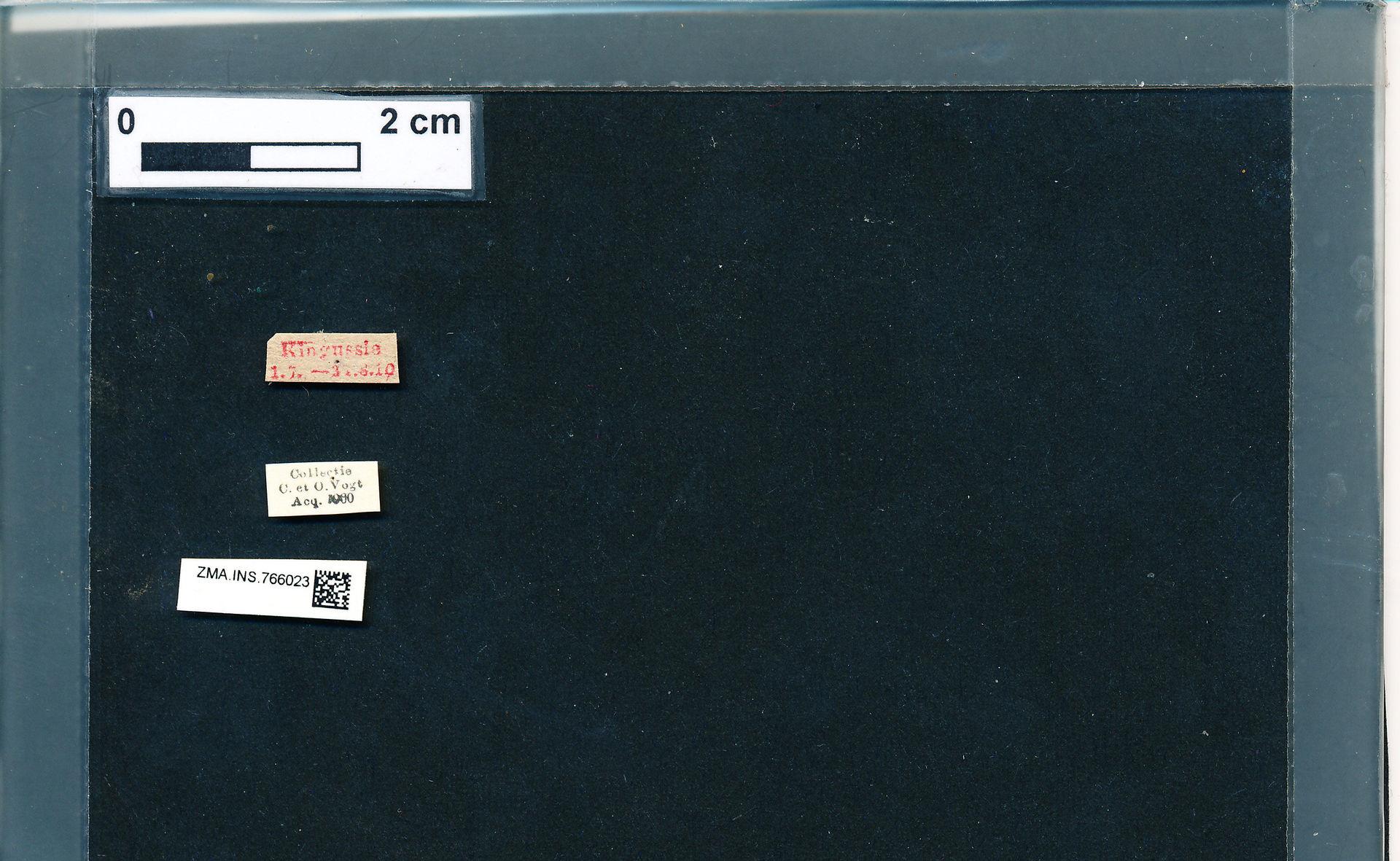 ZMA.INS.766023 | Bombus (Pyrobombus) pratorum pratorum Linnaeus, 1761