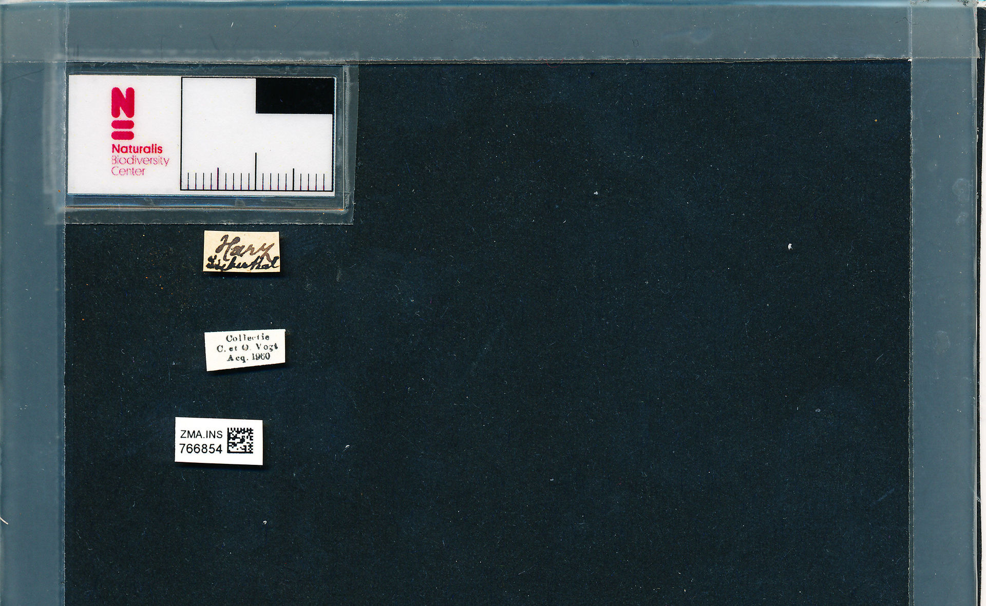 ZMA.INS.766854 | Bombus (Pyrobombus) pratorum pratorum Linnaeus, 1761