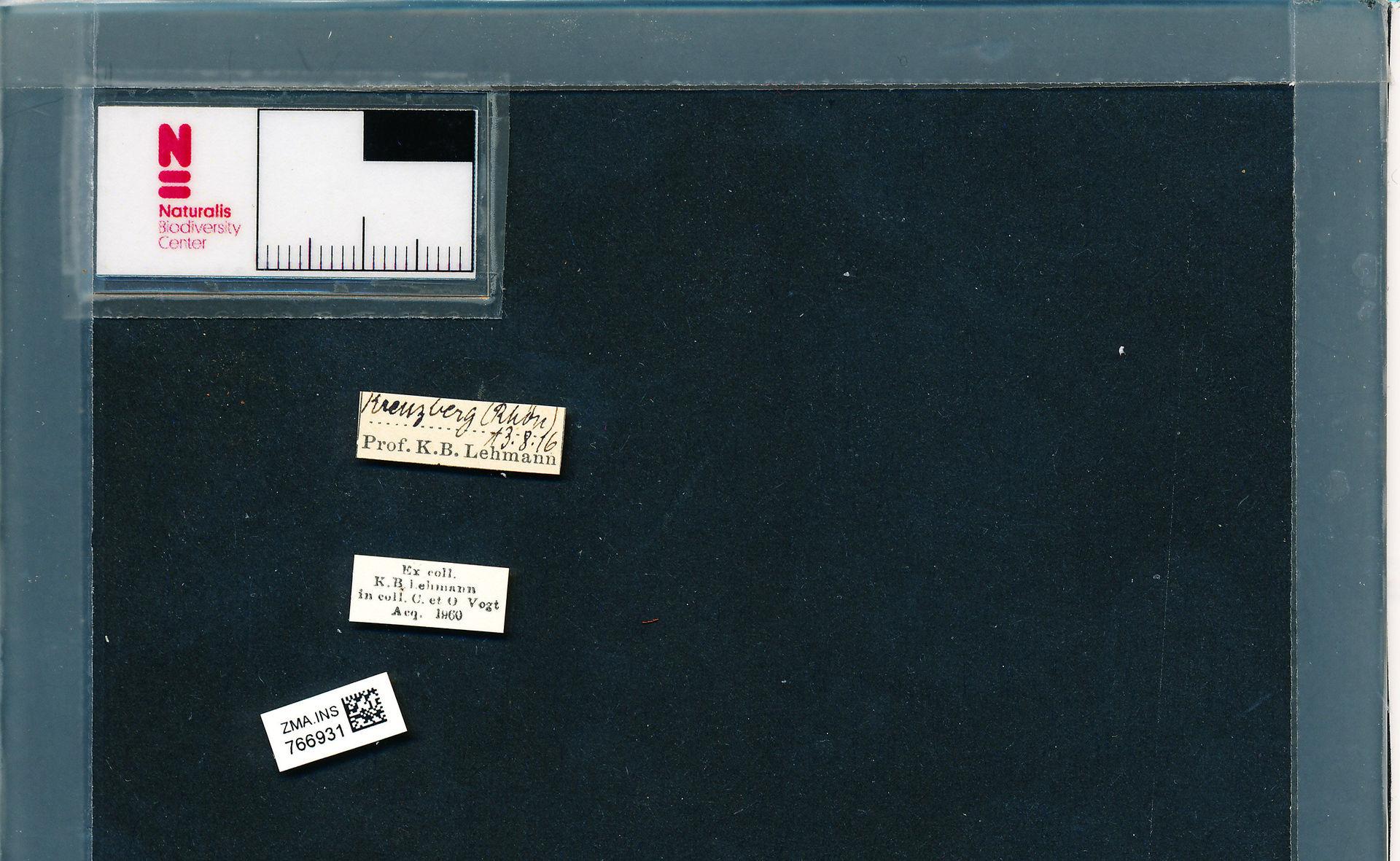 ZMA.INS.766931 | Bombus (Pyrobombus) pratorum pratorum Linnaeus, 1761