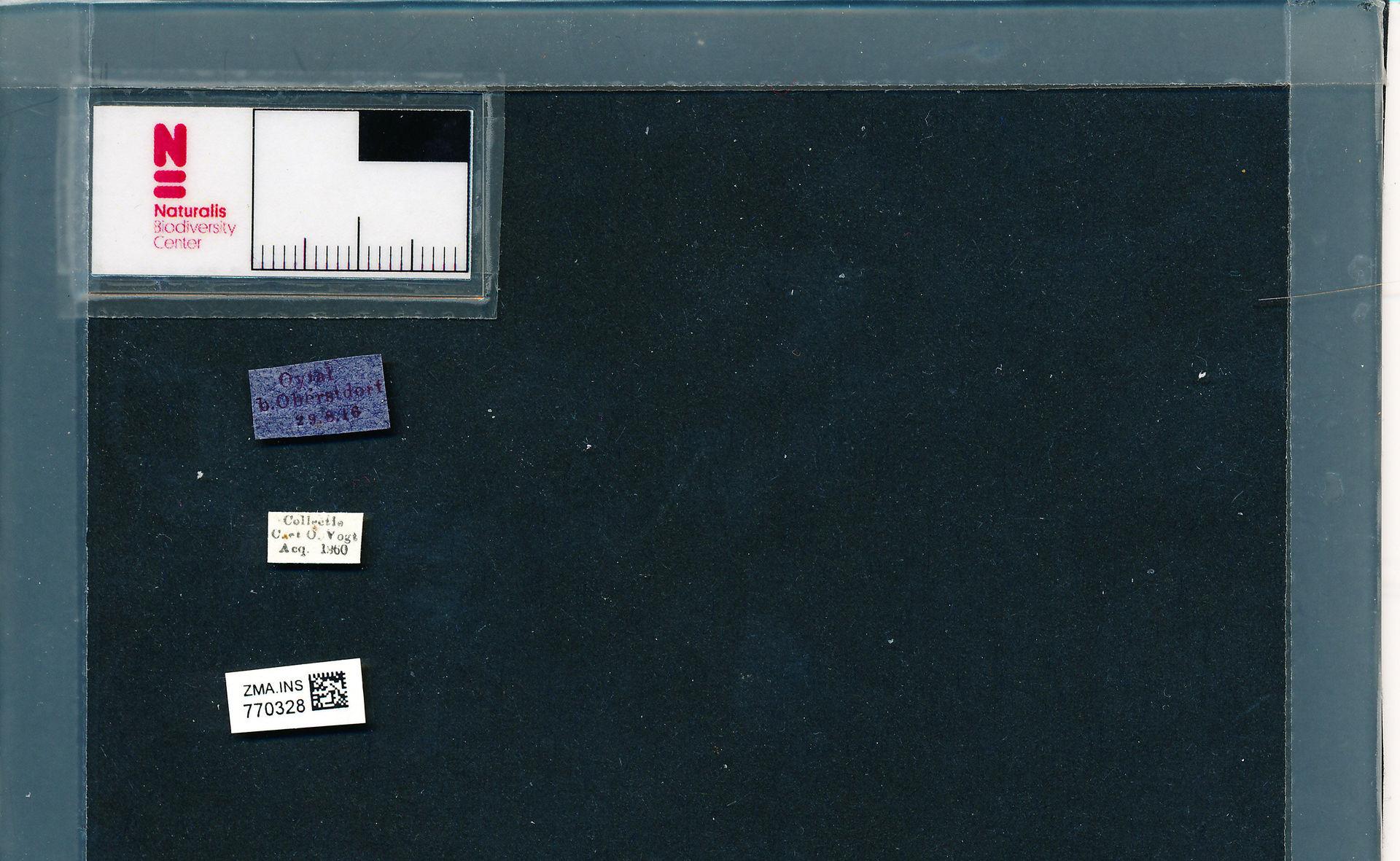 ZMA.INS.770328 | Bombus (Pyrobombus) pratorum pratorum (Linnaeus, 1761)