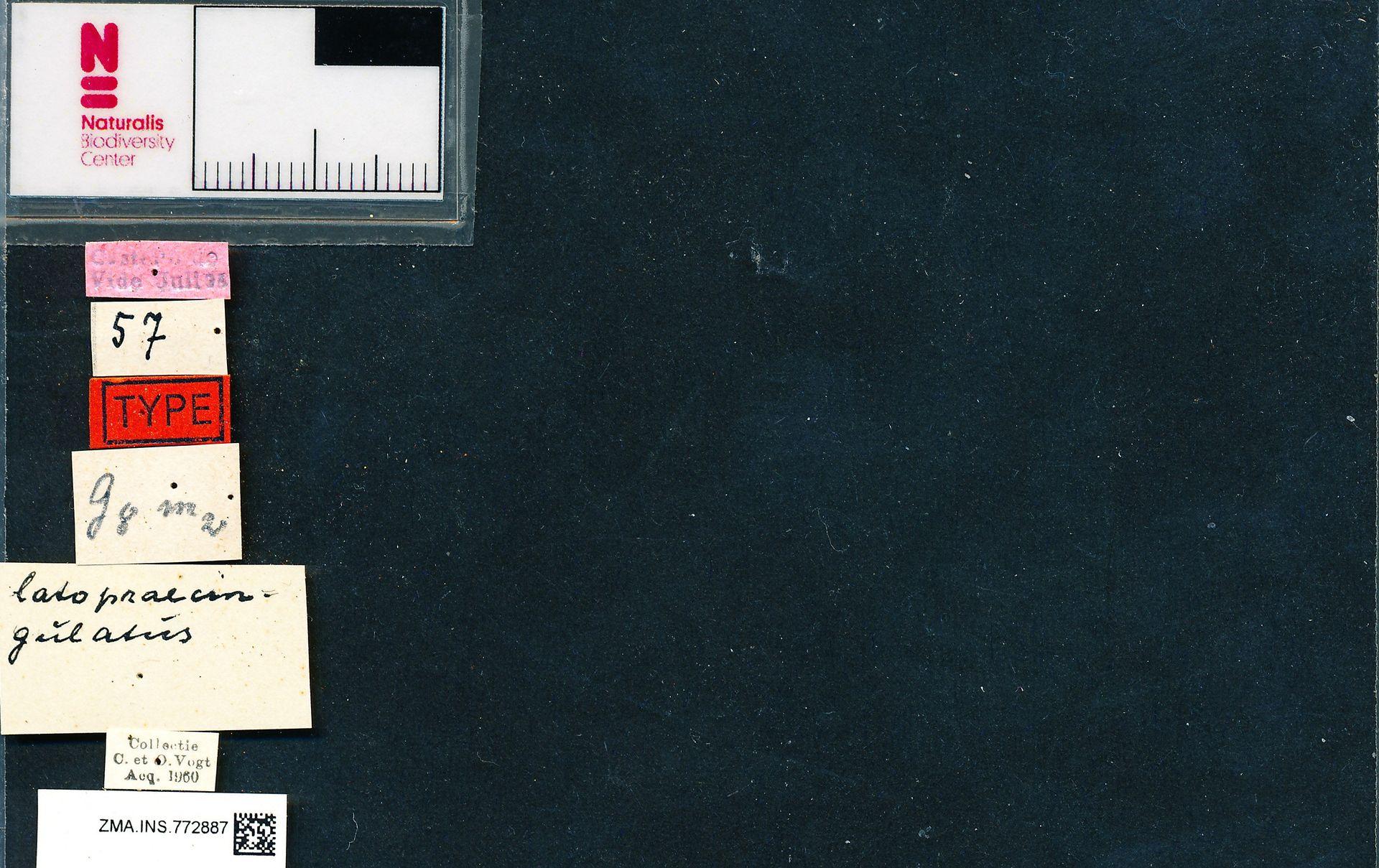 ZMA.INS.772887 | Bombus (Bombus) terrestris terrestris Krüger, 1954