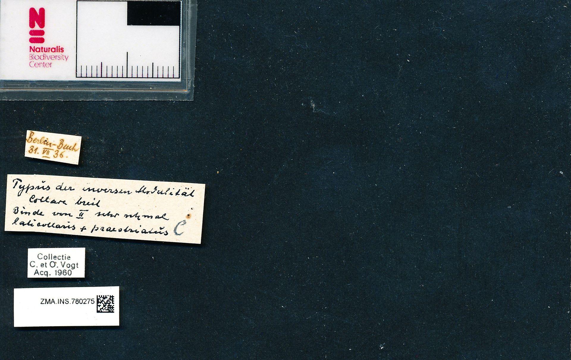 ZMA.INS.780275 | Bombus (Bombus) terrestris terrestris Krüger? i.l.