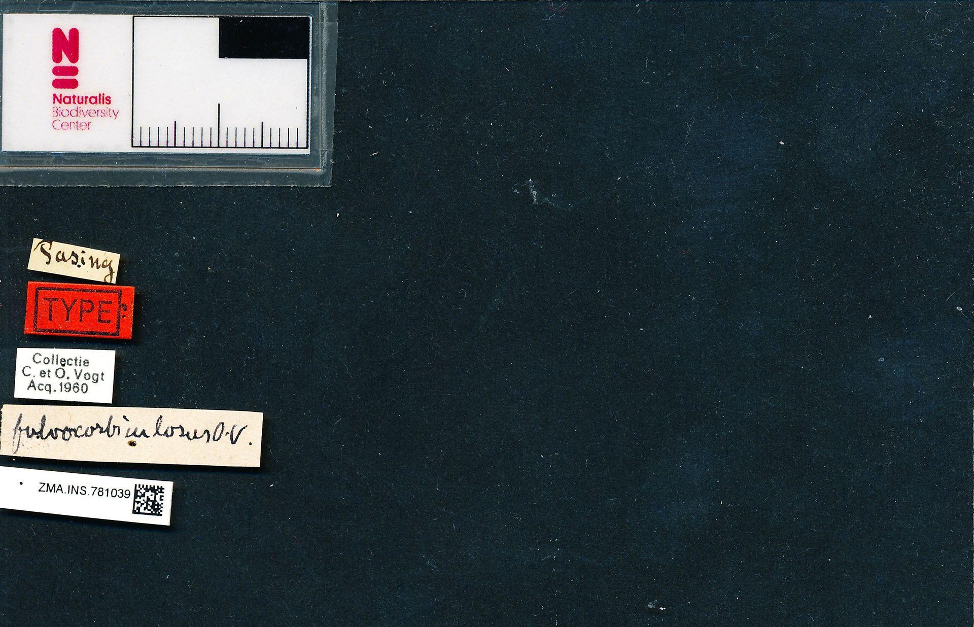 ZMA.INS.781039 | Bombus (Bombus) terrestris terrestris Vogt, i.l.