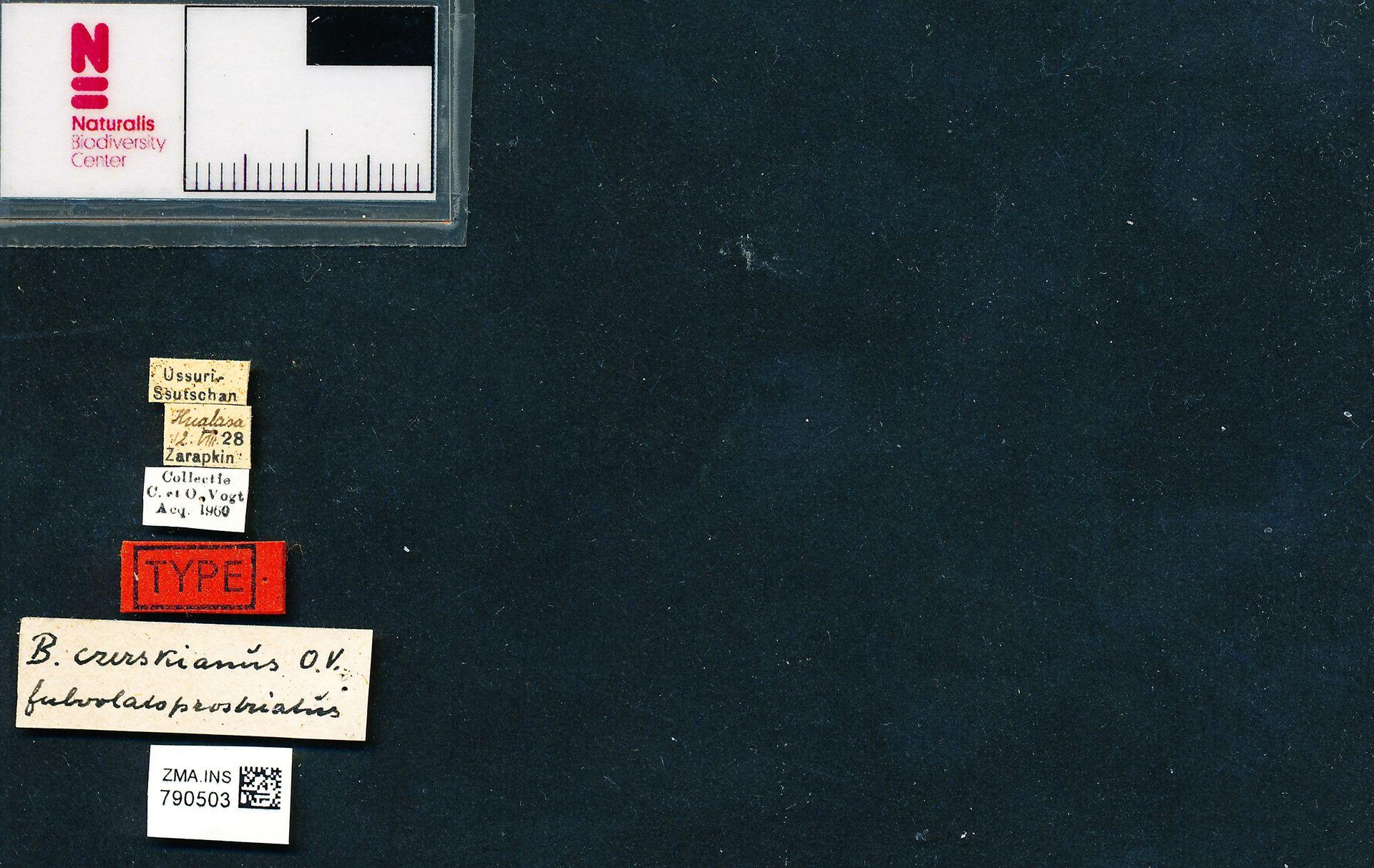 ZMA.INS.790503 | Bombus (Bombus) terrestris terrestris Krüger? i.l.