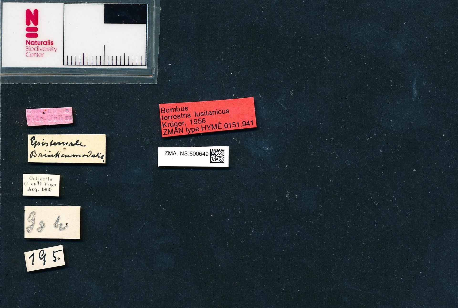 ZMA.INS.800649 | Bombus (Bombus s.s.) terrestris ferrugineus Krüger, 1956
