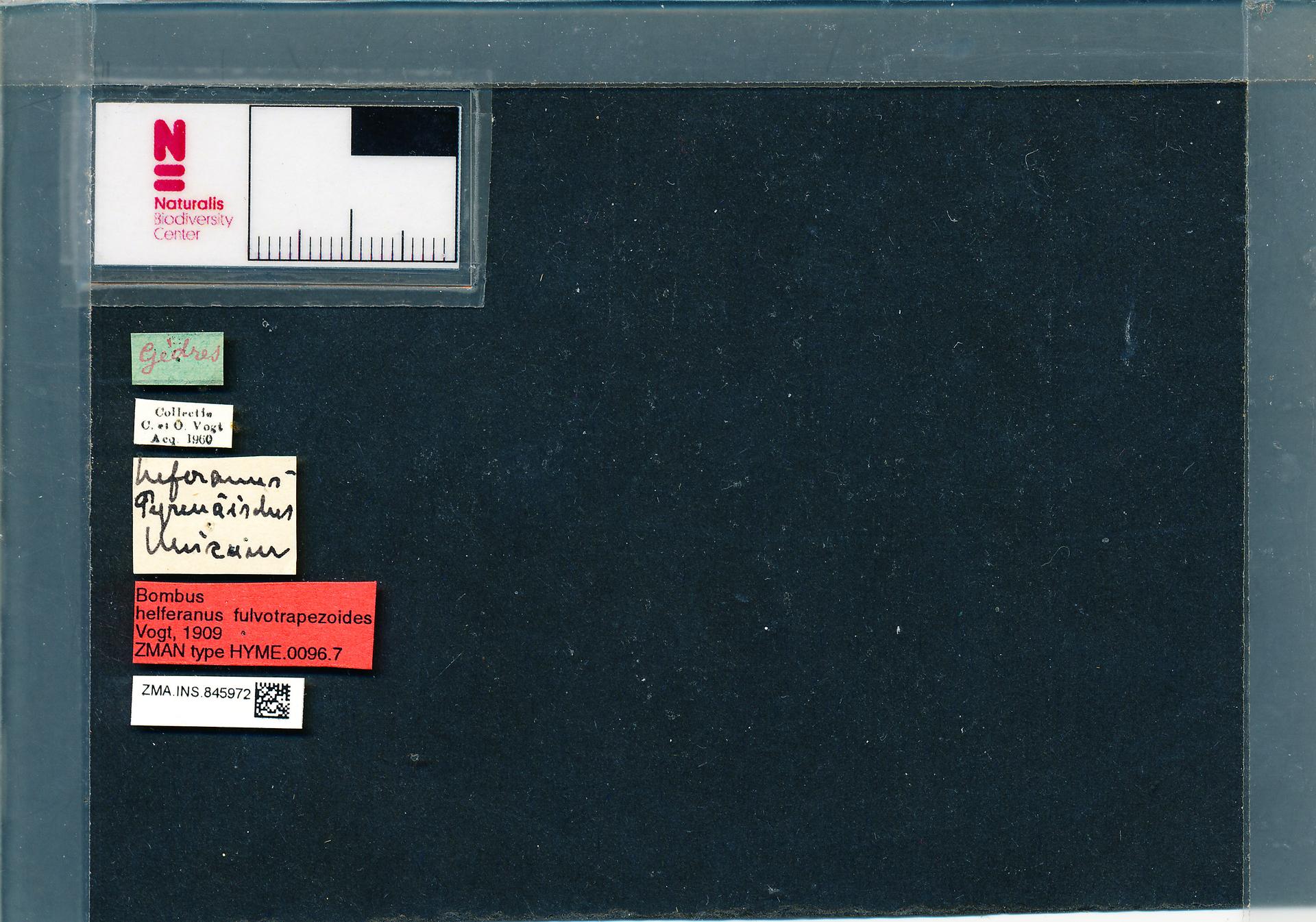 ZMA.INS.845972 | Bombus (Thoracobombus) humilis humilis s.s. Vogt, 1909
