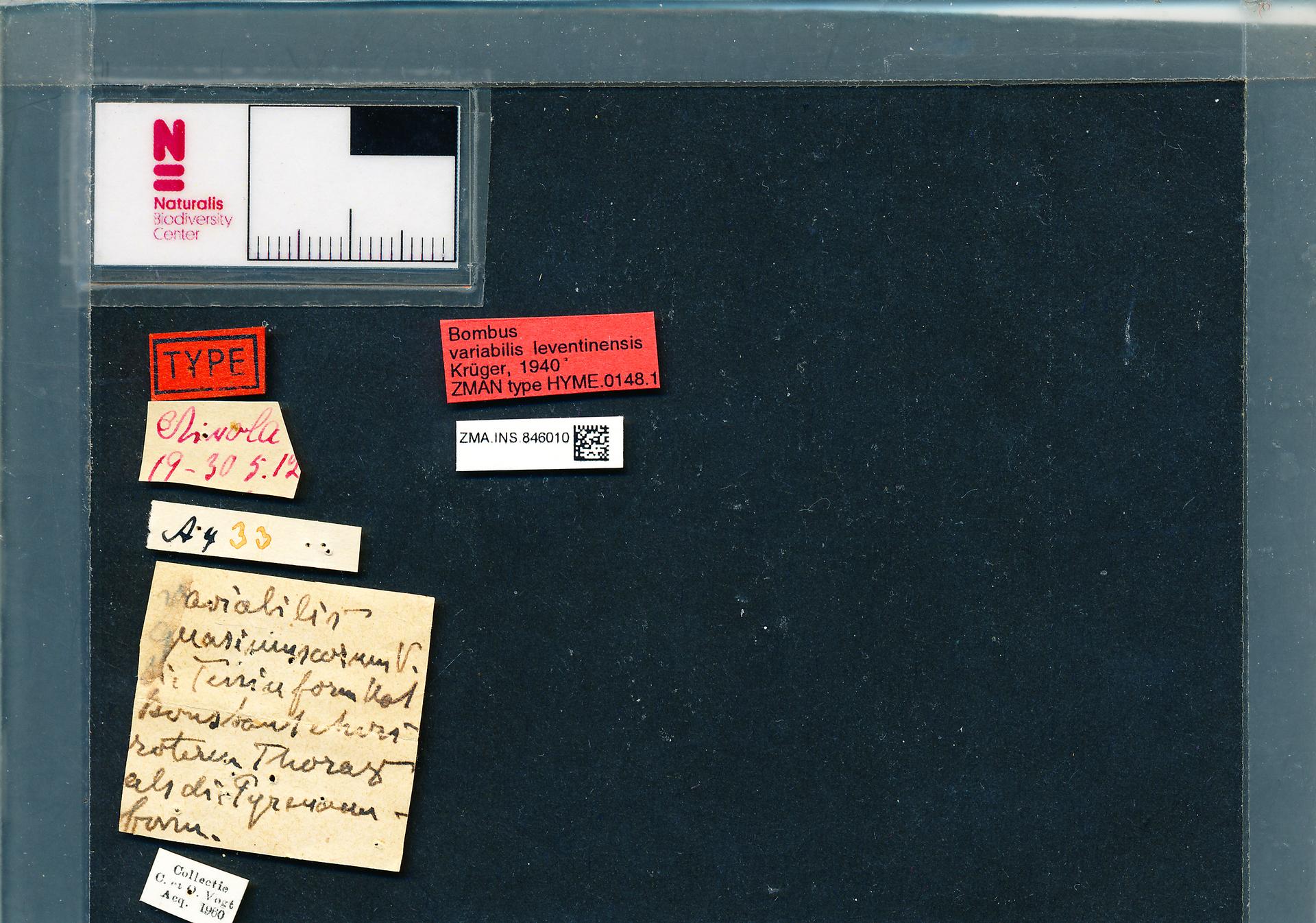 ZMA.INS.846010 | Bombus (Thoracobombus) humilis sordidus Krüger, 1940