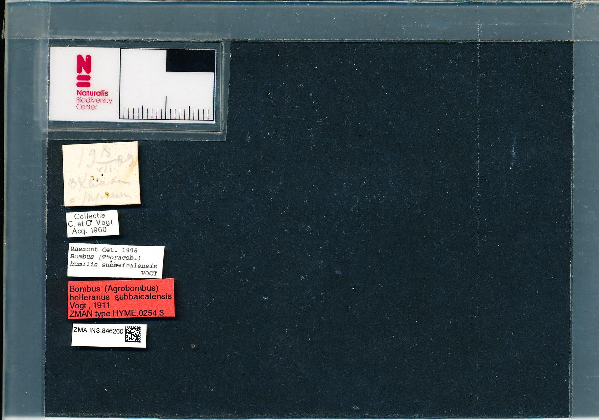 ZMA.INS.846260 | Bombus (Thoracobombus) humilis subbaicalensis Vogt, 1911