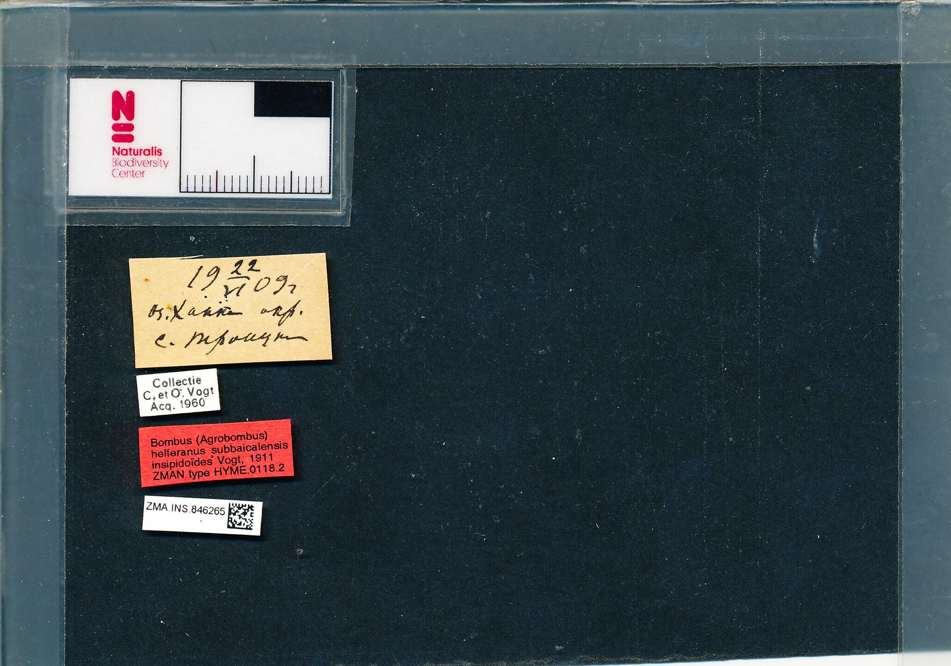 ZMA.INS.846265 | Bombus (Thoracobombus) humilis subbaicalensis Vogt, 1911