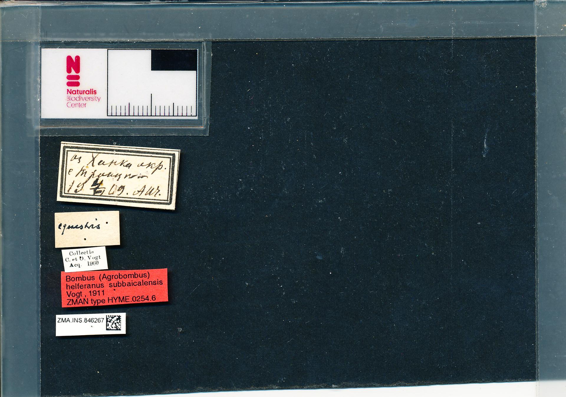 ZMA.INS.846267 | Bombus (Thoracobombus) humilis subbaicalensis Vogt, 1911