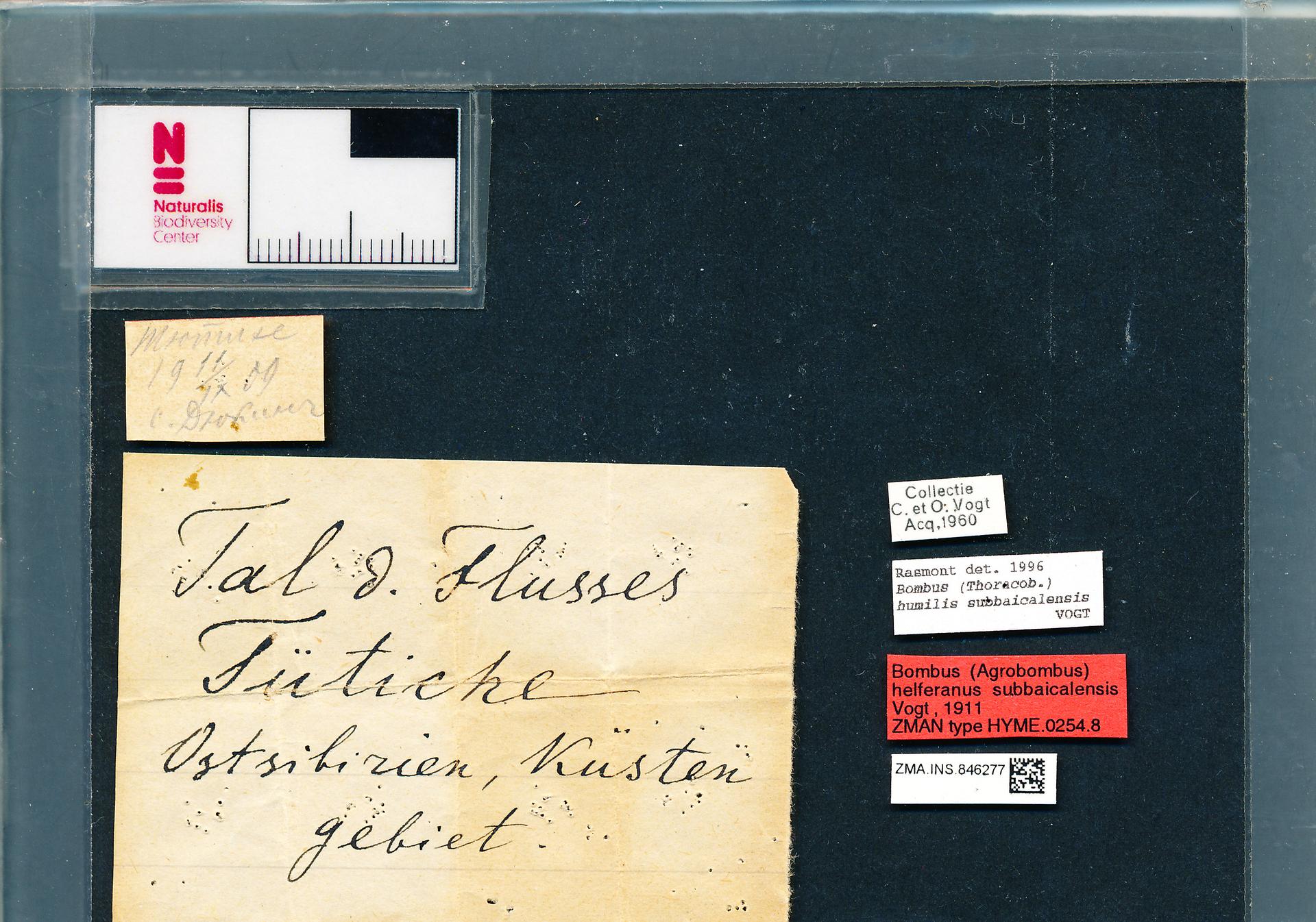 ZMA.INS.846277 | Bombus (Thoracobombus) humilis subbaicalensis Vogt, 1911