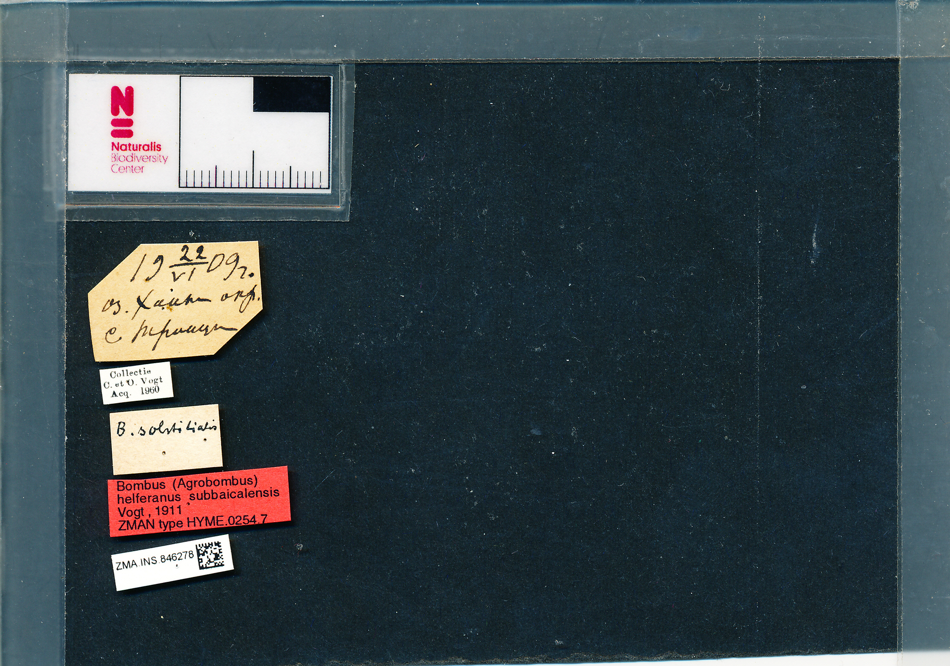 ZMA.INS.846278 | Bombus (Thoracobombus) humilis subbaicalensis Vogt, 1911