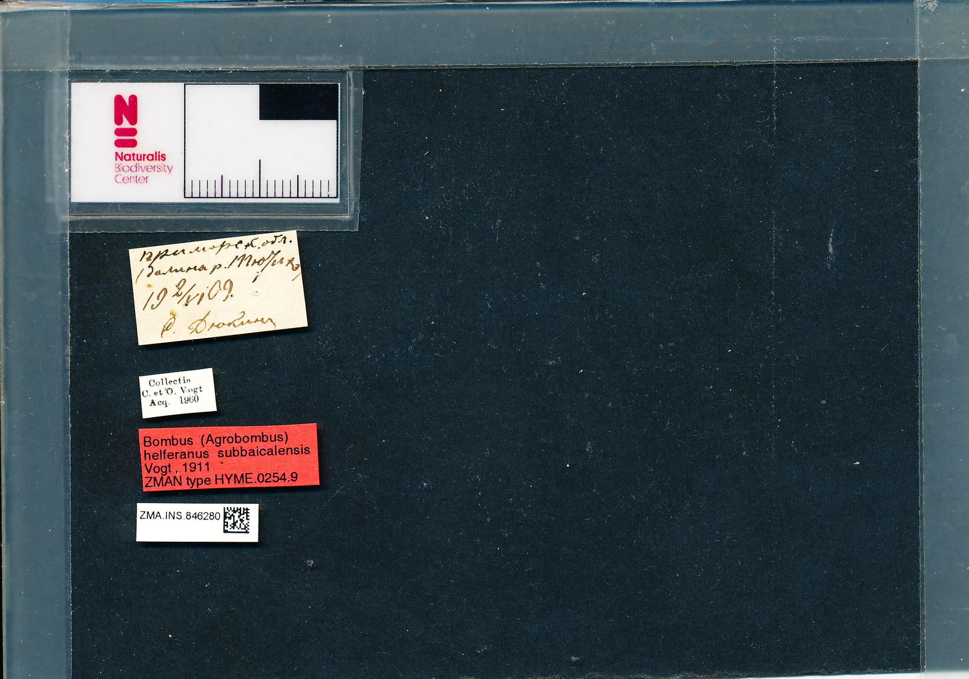 ZMA.INS.846280 | Bombus (Thoracobombus) humilis subbaicalensis Vogt, 1911