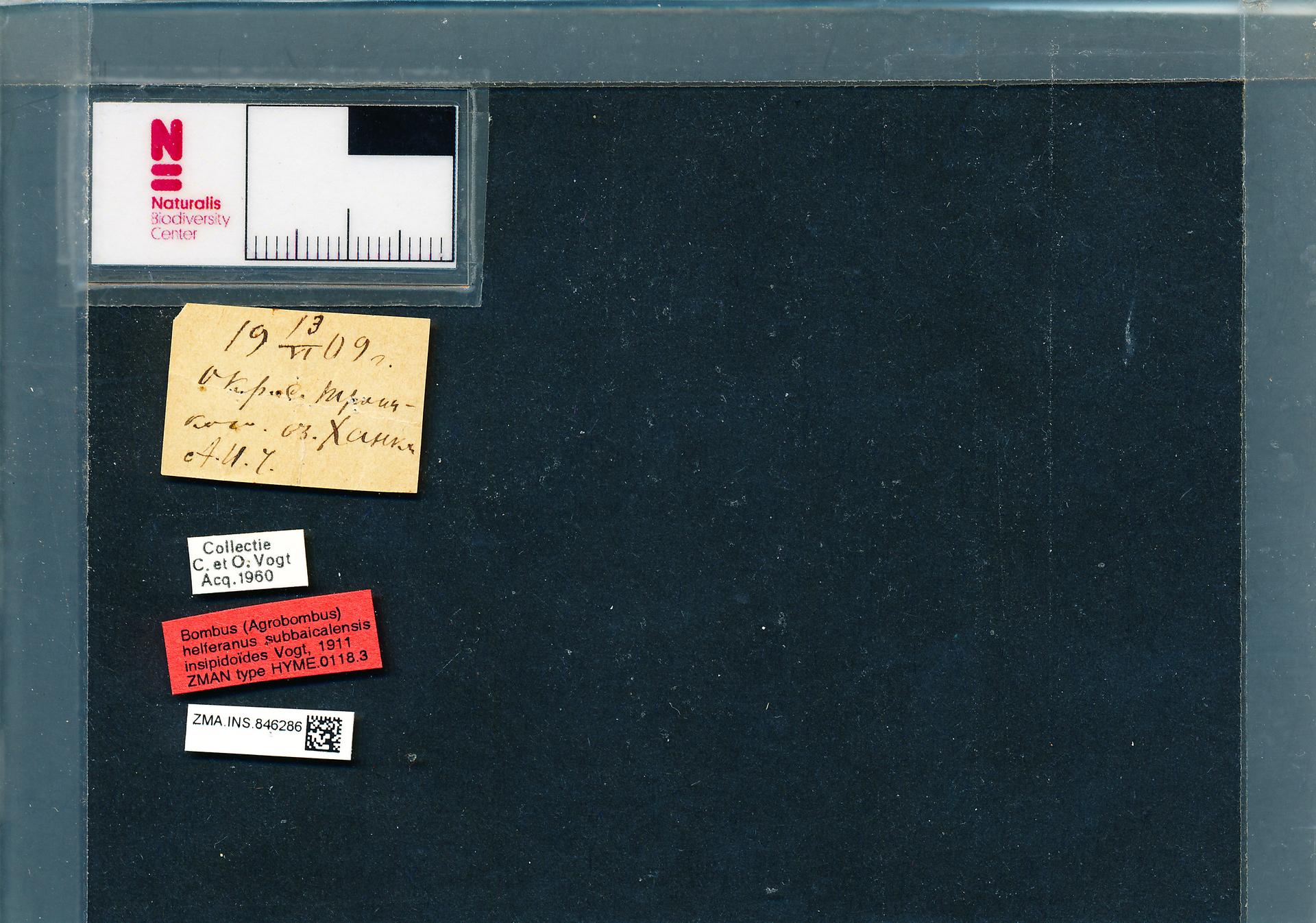 ZMA.INS.846286 | Bombus (Thoracobombus) humilis subbaicalensis Vogt, 1911