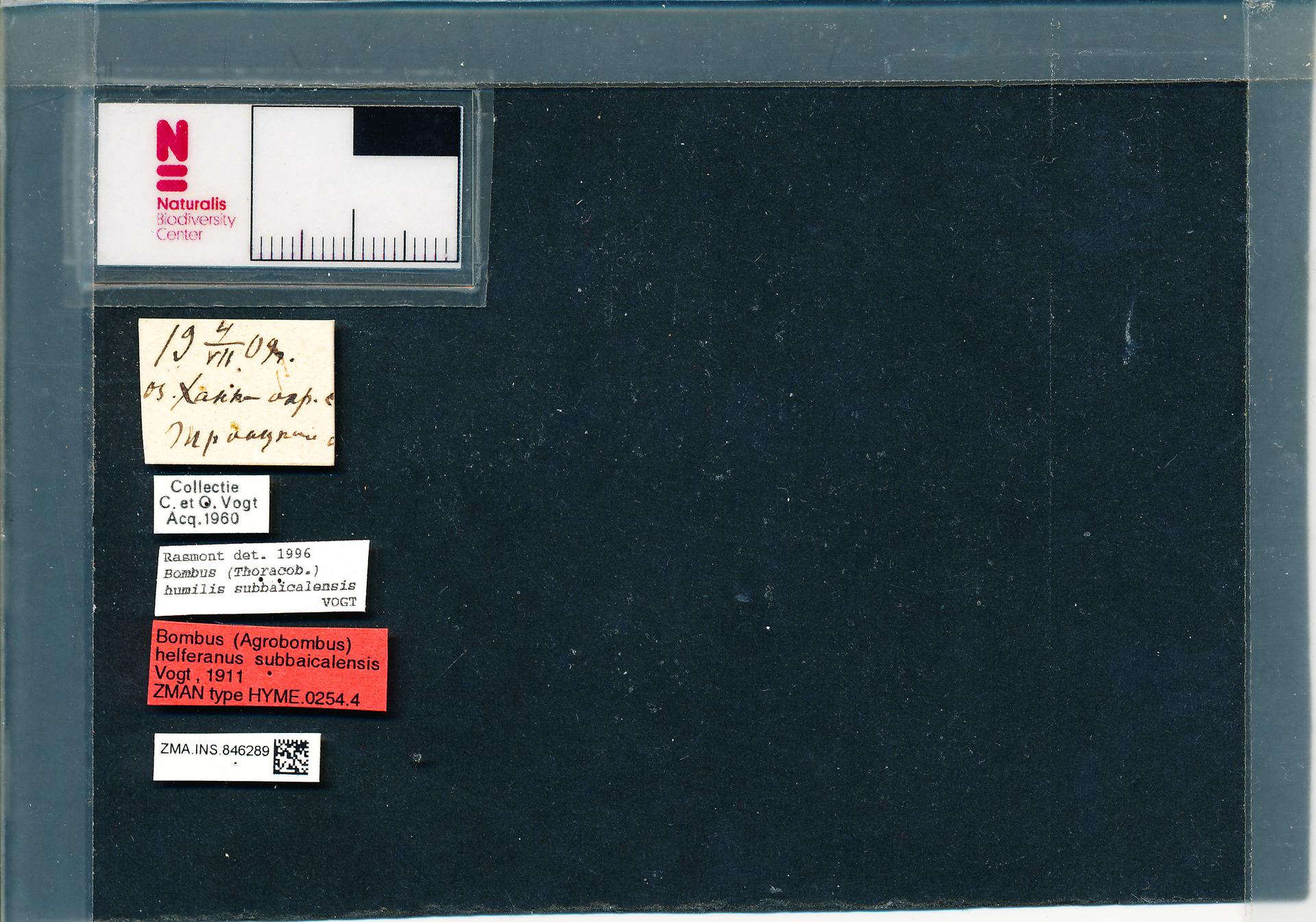 ZMA.INS.846289 | Bombus (Thoracobombus) humilis subbaicalensis Vogt, 1911