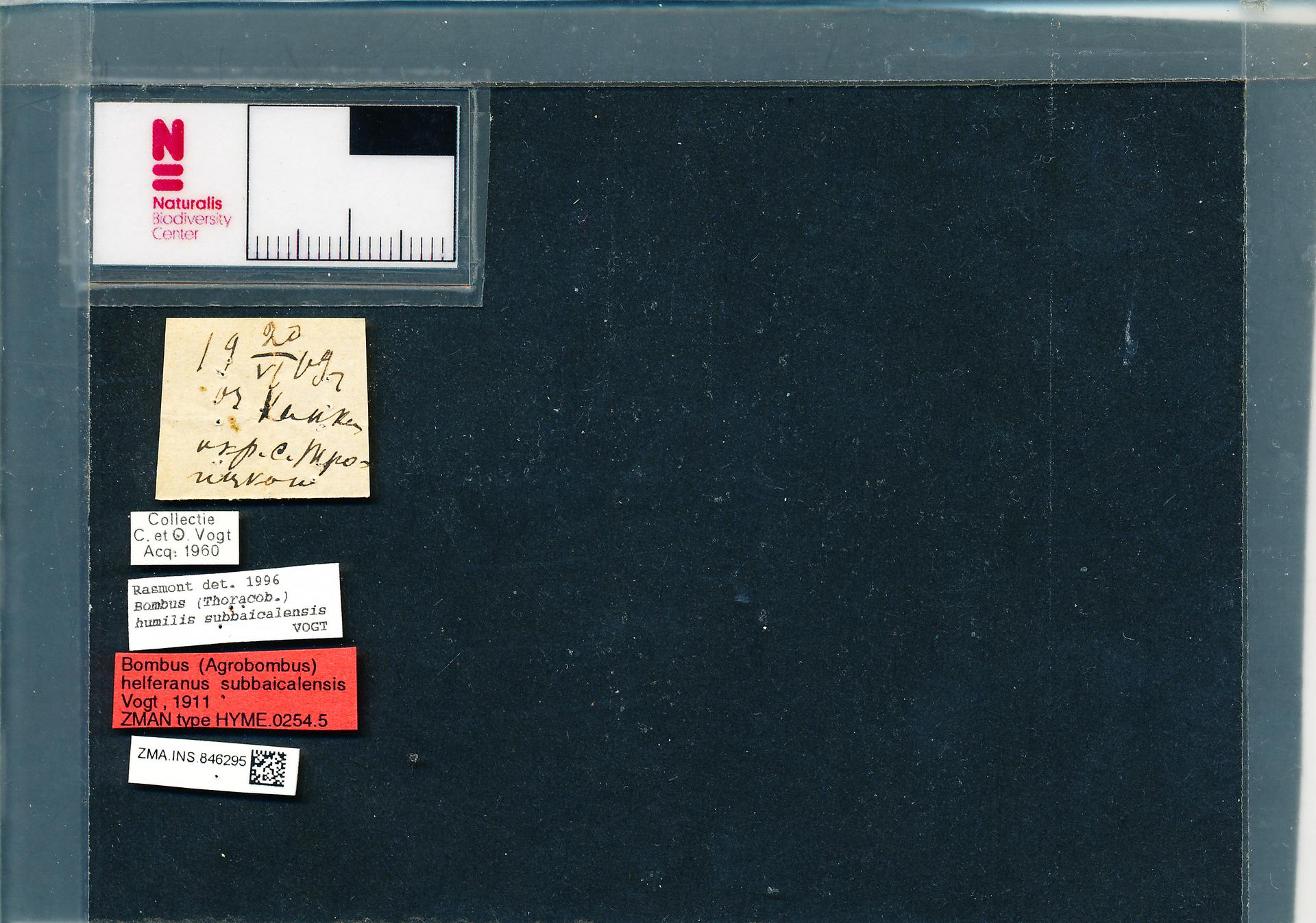 ZMA.INS.846295 | Bombus (Thoracobombus) humilis subbaicalensis Vogt, 1911