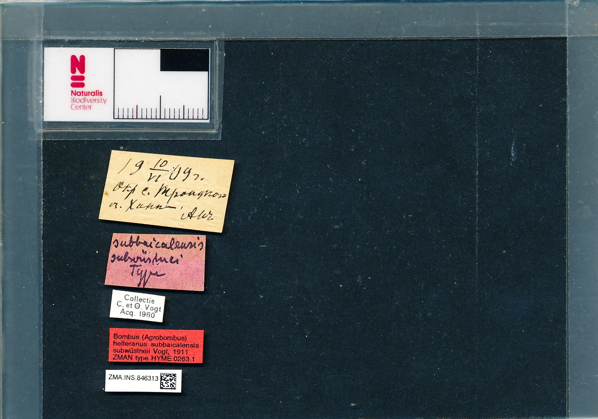 ZMA.INS.846313 | Bombus (Thoracobombus) humilis subbaicalensis Vogt, 1911