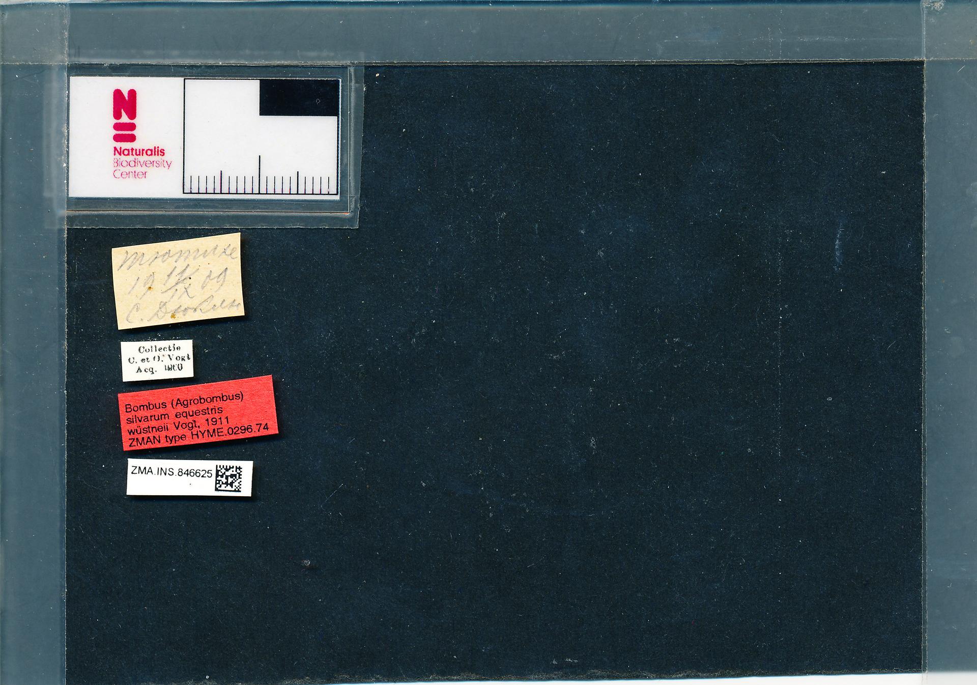 ZMA.INS.846625 | Bombus (Thoracobombus) veteranus wuestneii Vogt, 1911