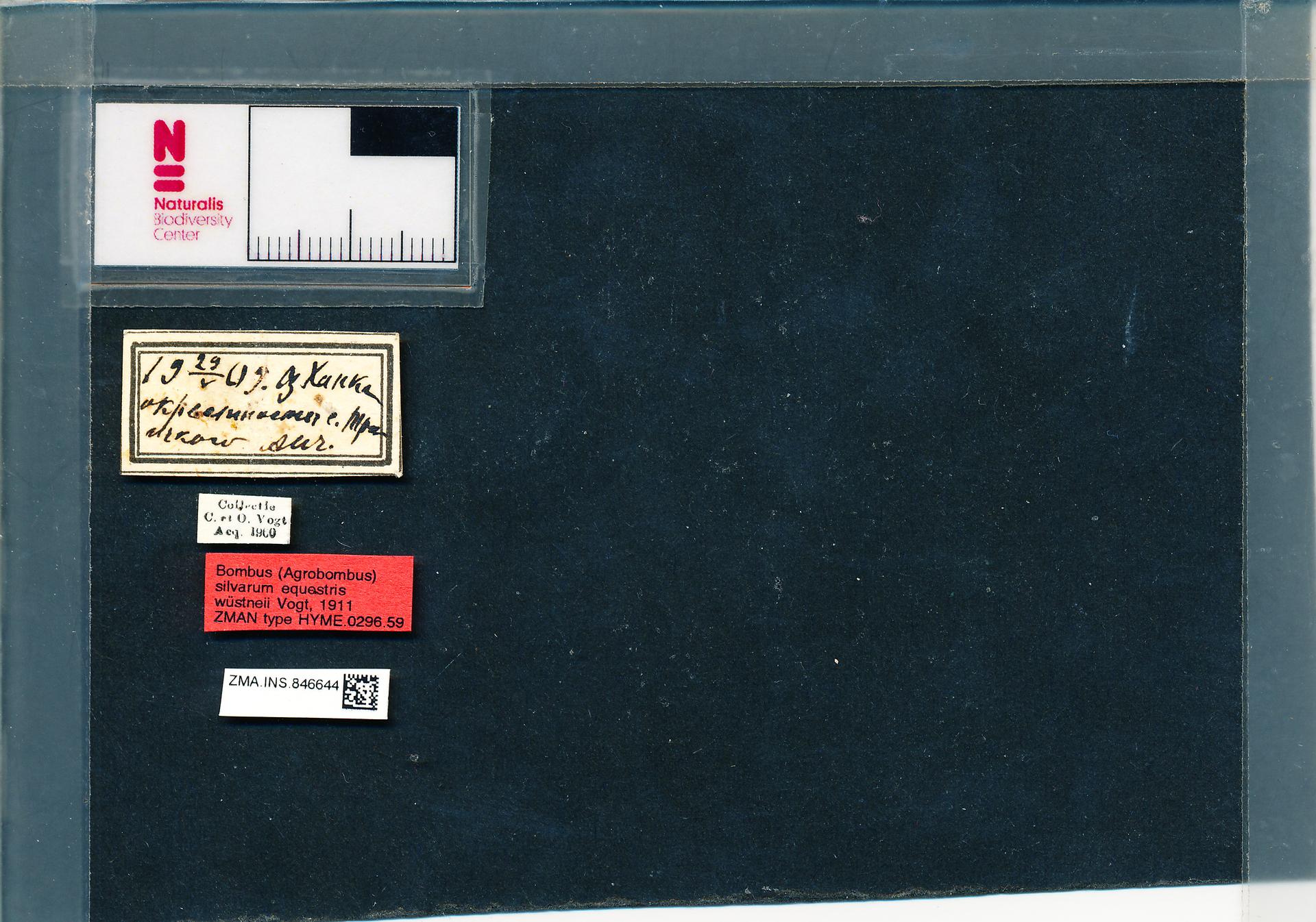 ZMA.INS.846644 | Bombus (Thoracobombus) veteranus wuestneii Vogt, 1911