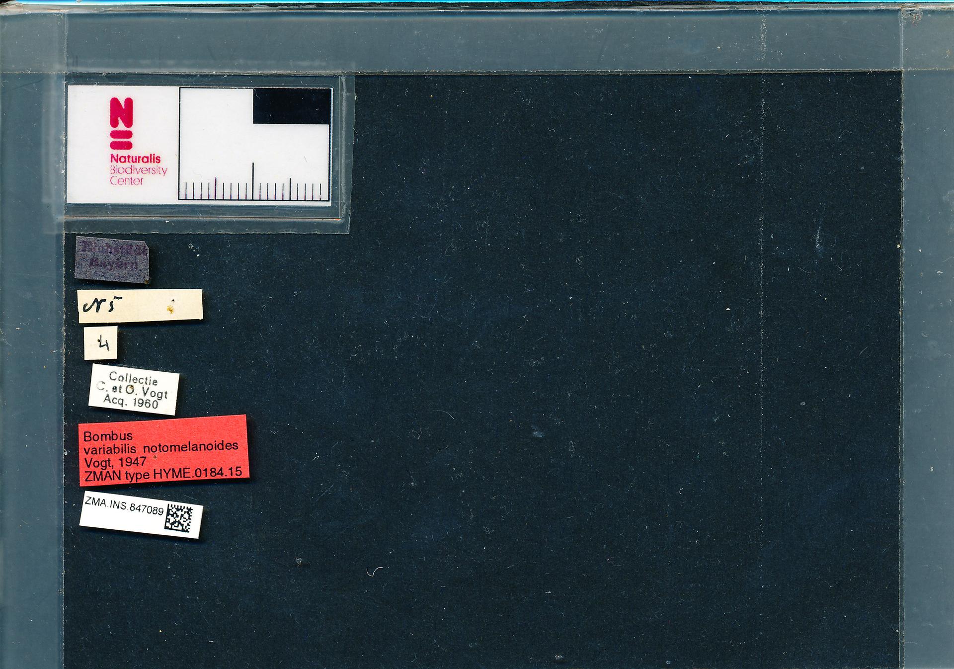 ZMA.INS.847089 | Bombus (Thoracobombus) humilis humilis s.s. Vogt, 1947