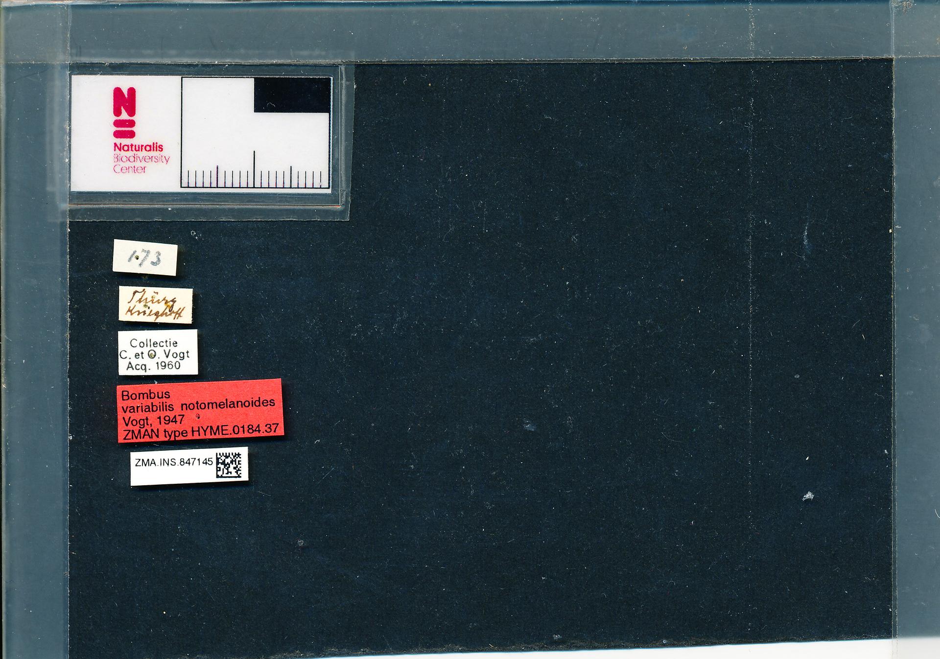 ZMA.INS.847145 | Bombus (Thoracobombus) humilis humilis s.s. Vogt, 1947