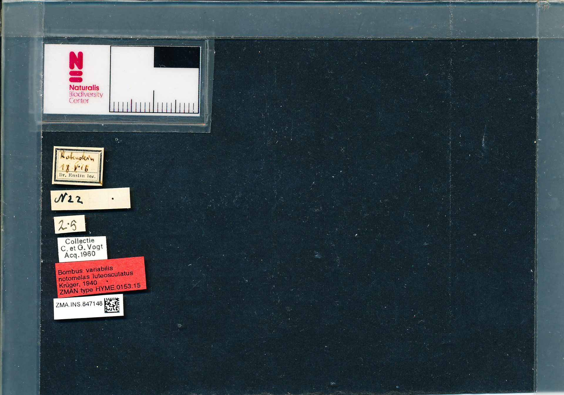 ZMA.INS.847148 | Bombus (Thoracobombus) humilis humilis s.s. Krüger, 1940