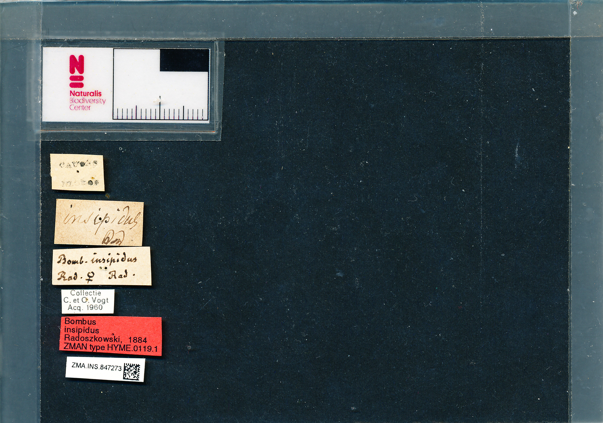 ZMA.INS.847273 | Bombus (Thoracobombus) humilis insipidus Radoszkowski, 1884