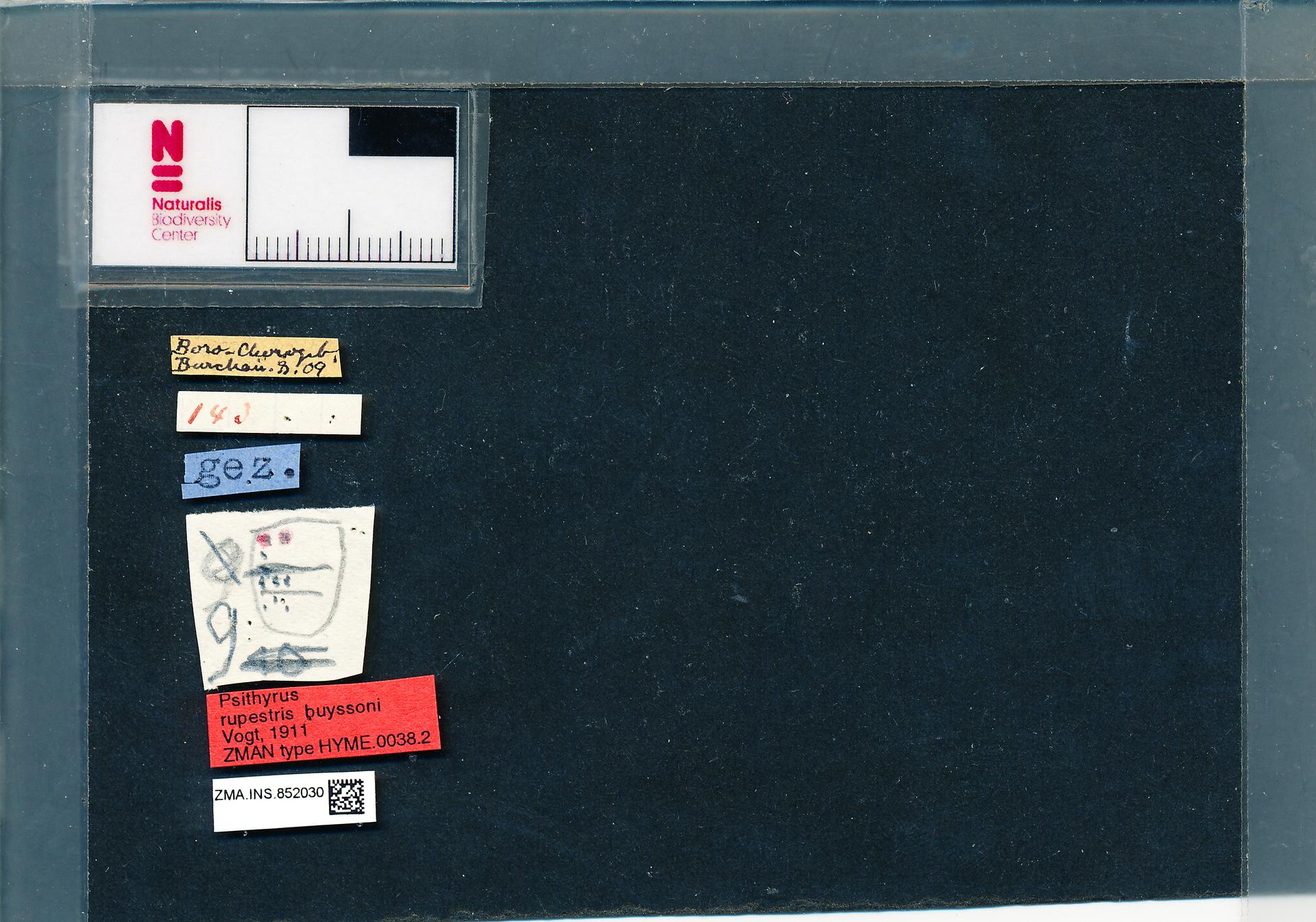 ZMA.INS.852030 | Bombus (Psithyrus) rupestris buyssoni Vogt, 1911