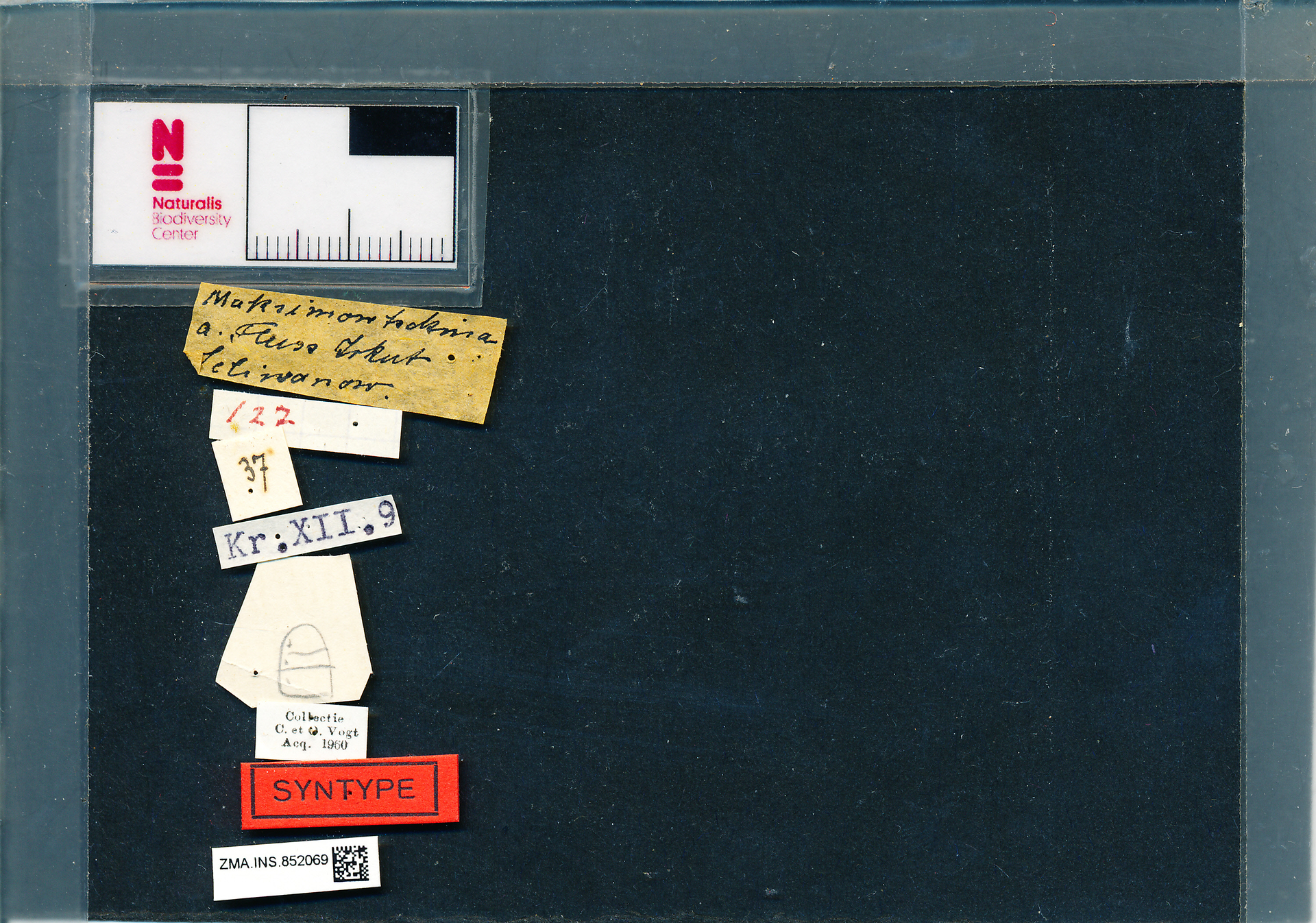 ZMA.INS.852069 | Bombus (Psithyrus) rupestris orientalis Reinig, 1936