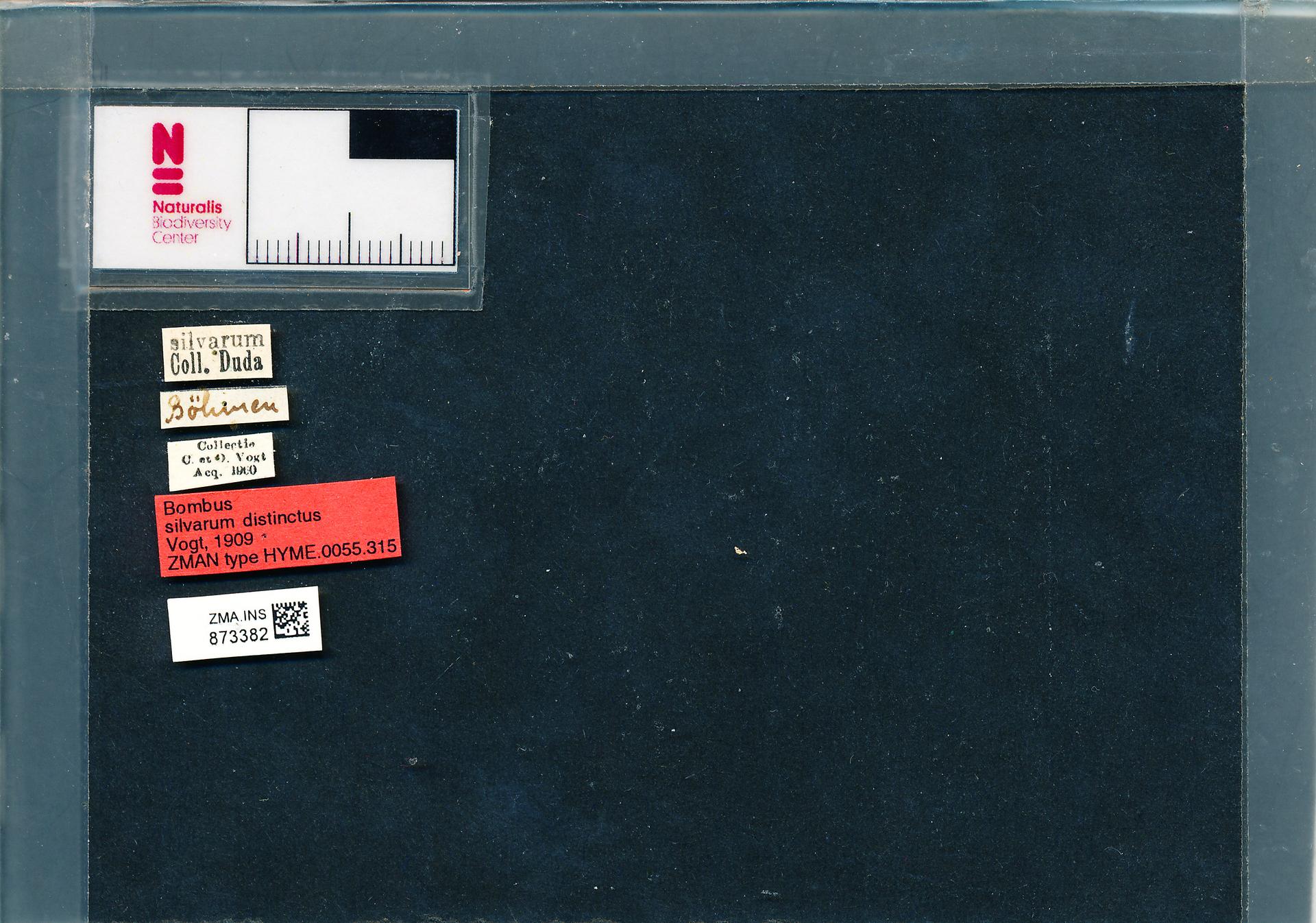 ZMA.INS.873382 | Bombus (Thoracobombus) sylvarum distinctus Vogt, 1909