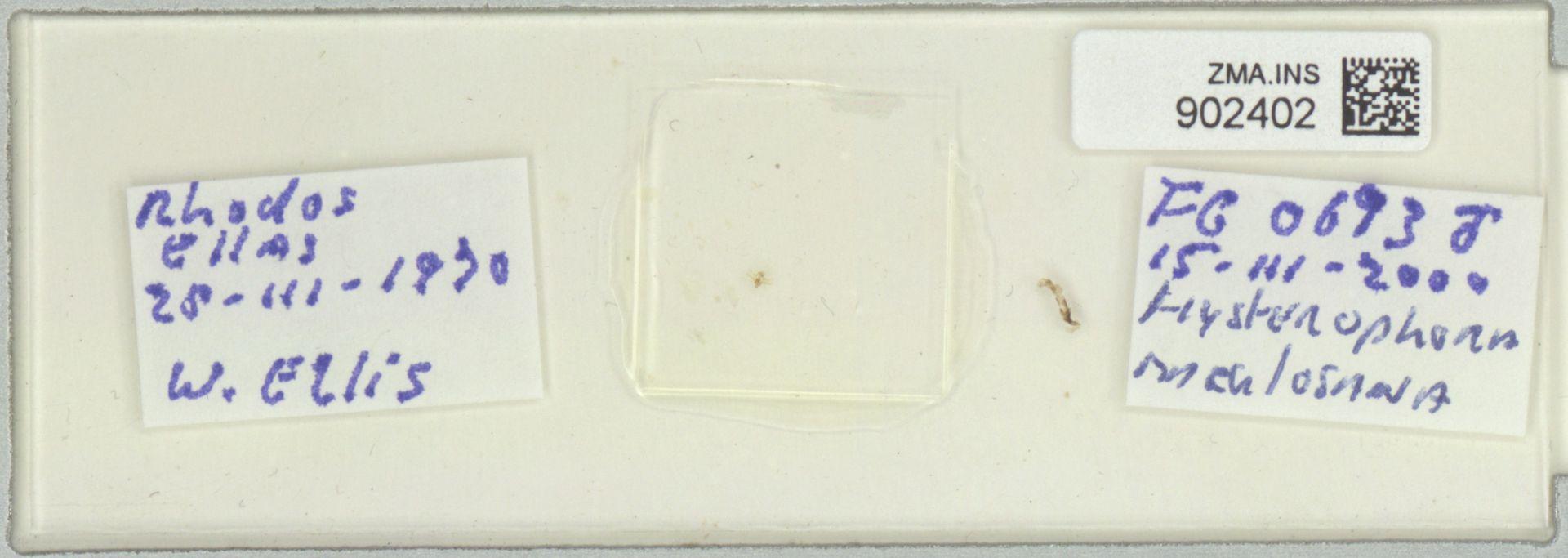 ZMA.INS.902402 | Hysterophora maculosana