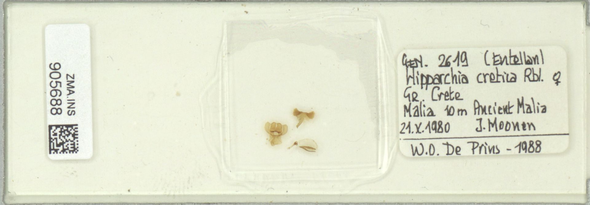 ZMA.INS.905688   Hipparchia cretica Rbl.