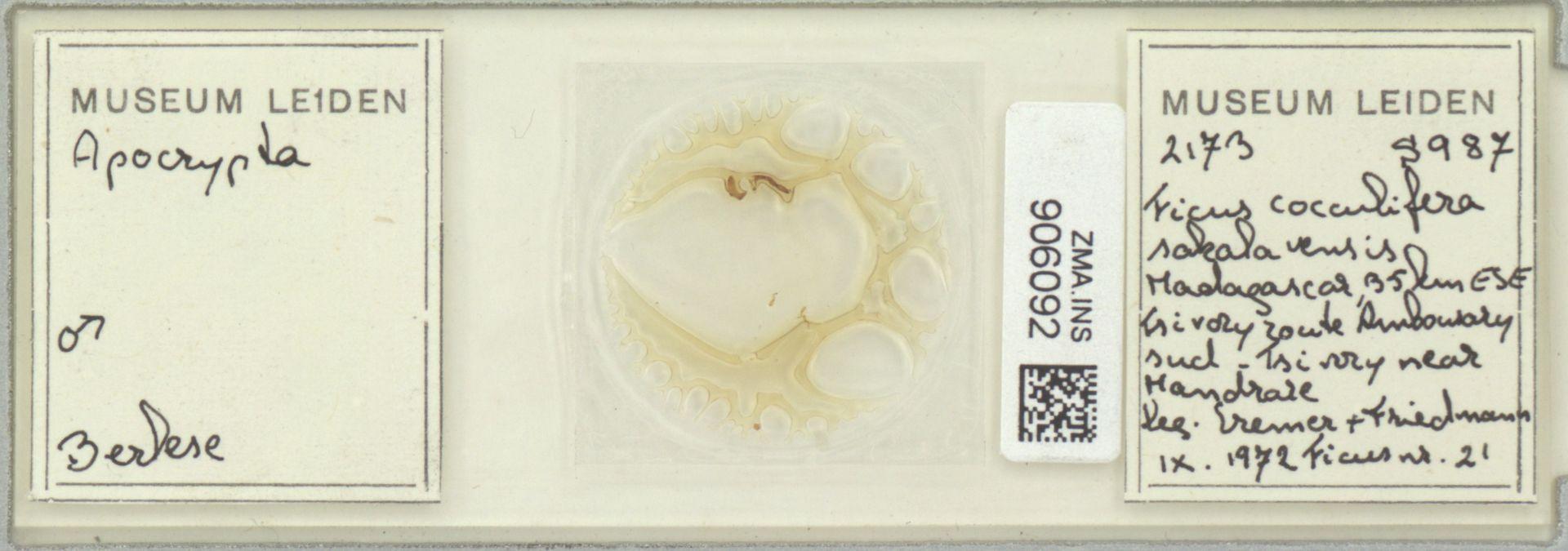 ZMA.INS.906092 | Apocrypta cercaria Ulenberg, 1985
