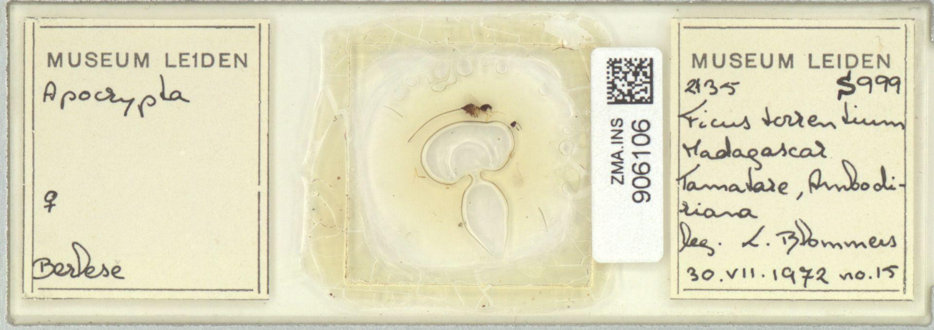 ZMA.INS.906106 | Apocrypta setoptera Ulenberg, 1985