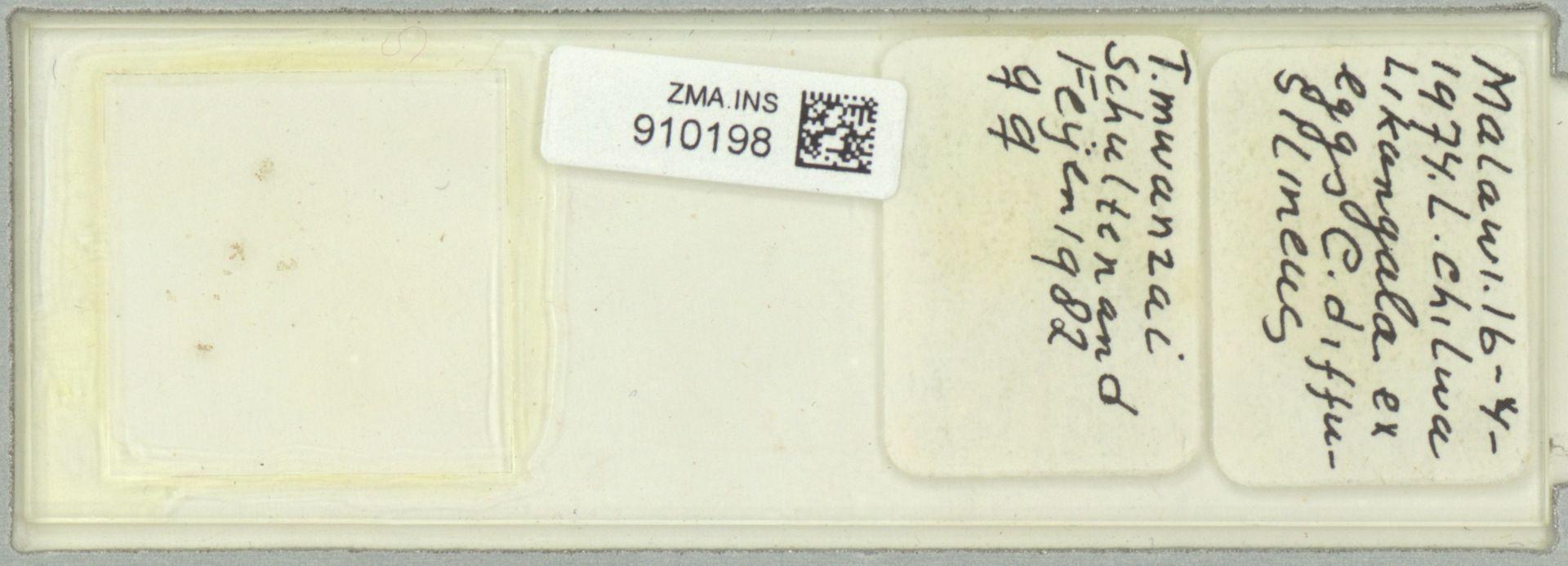 ZMA.INS.910198 | Trichogramma mwanzai Schulten and Feijen 1982
